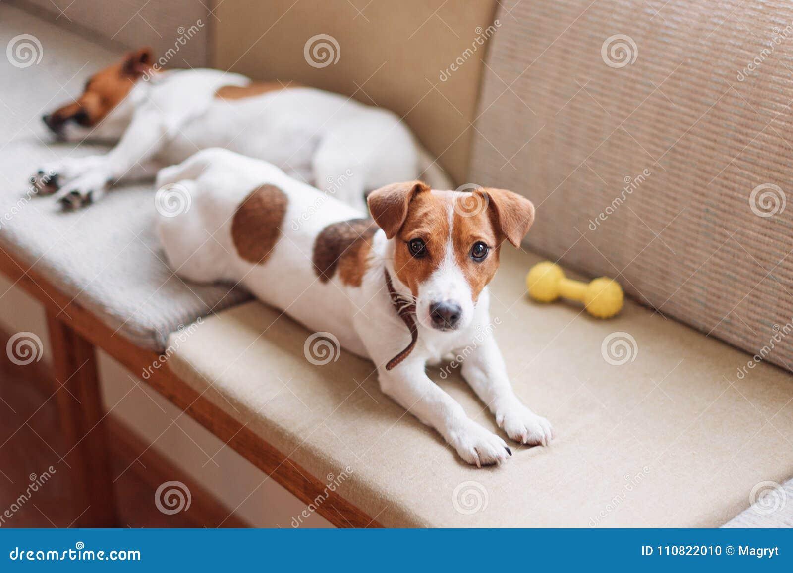 Śliczna dźwigarka Russell jest prześladowanym dosypianie i odpoczywać na leżance Pies ma sjestę, marzy