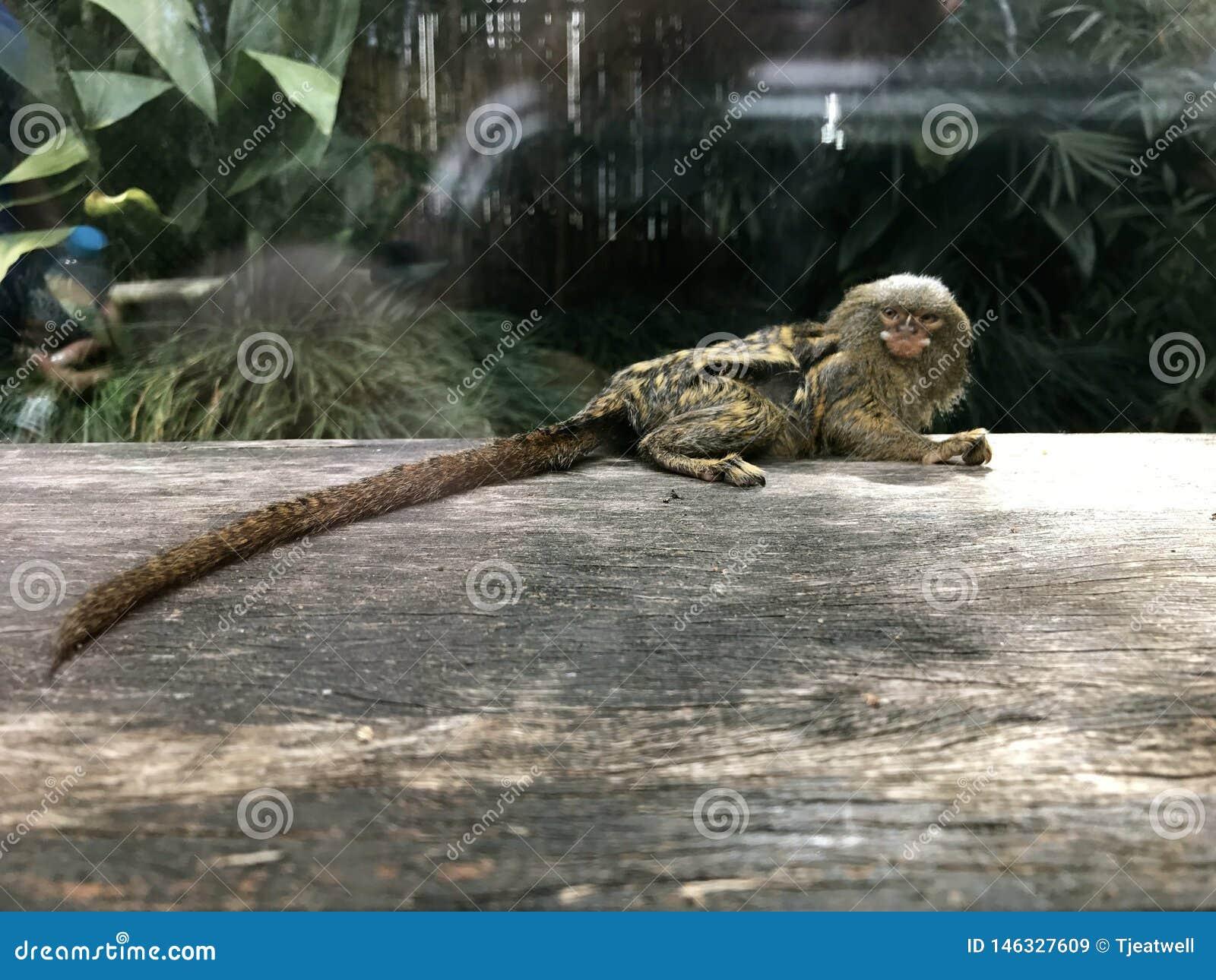 Śliczna Malutka pigmej małpa