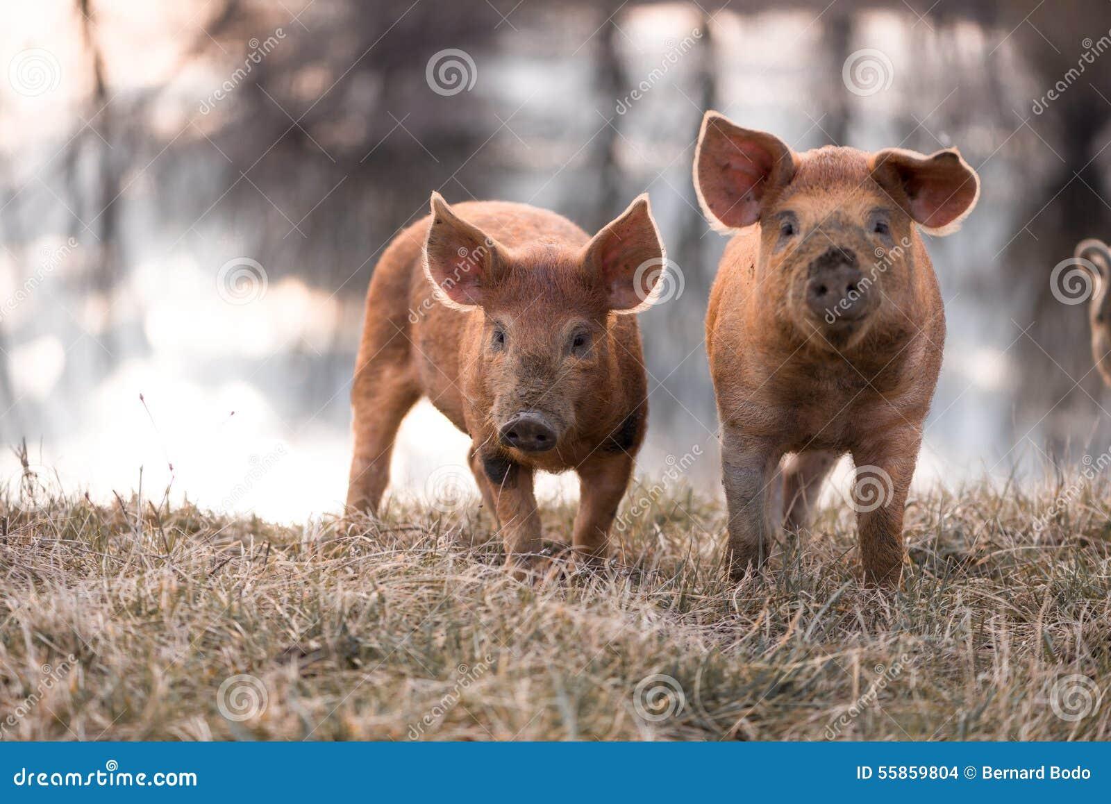 Śliczne mangalitsa świnie