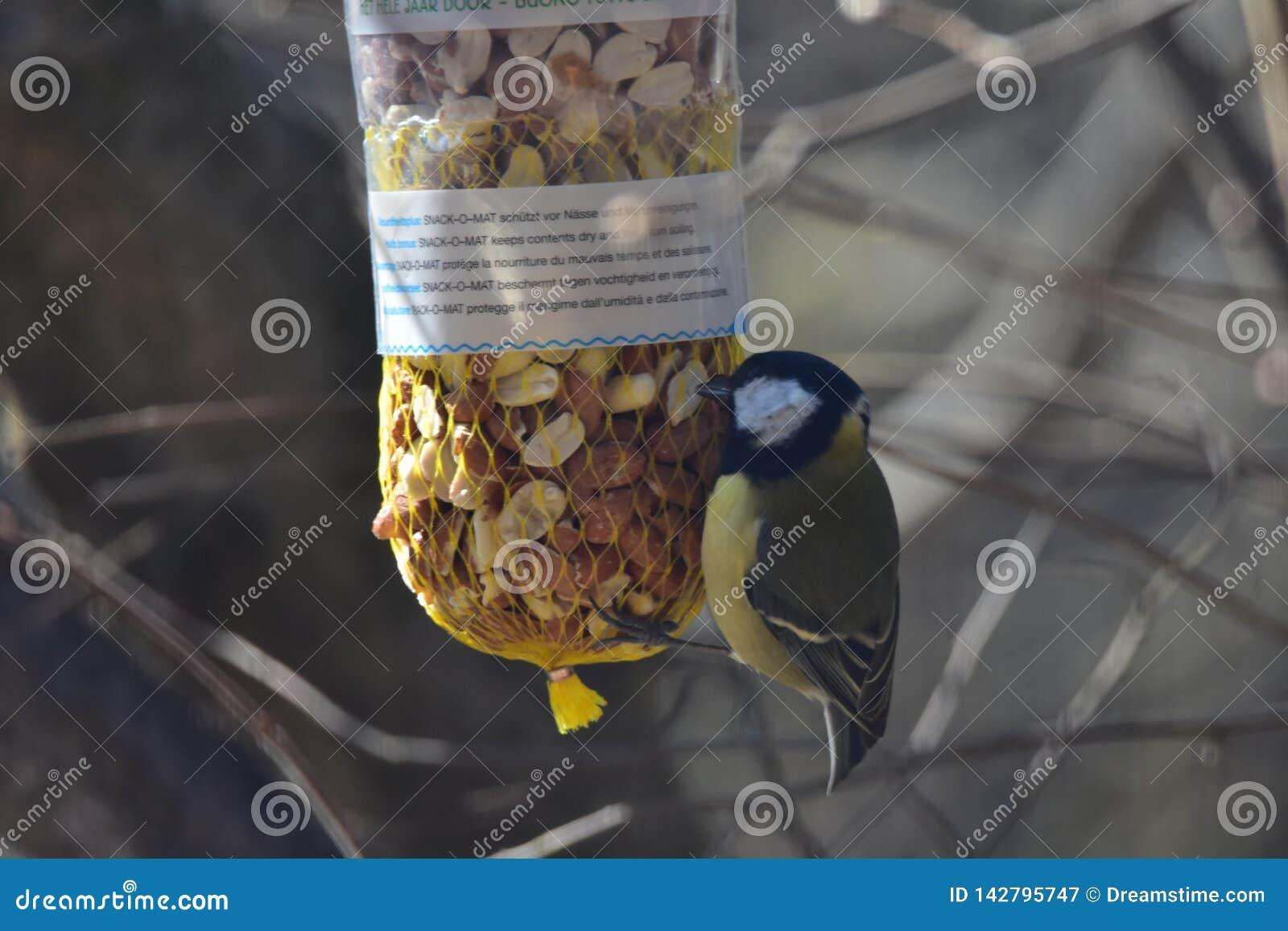 Śliczne ptasie łasowanie dokrętki
