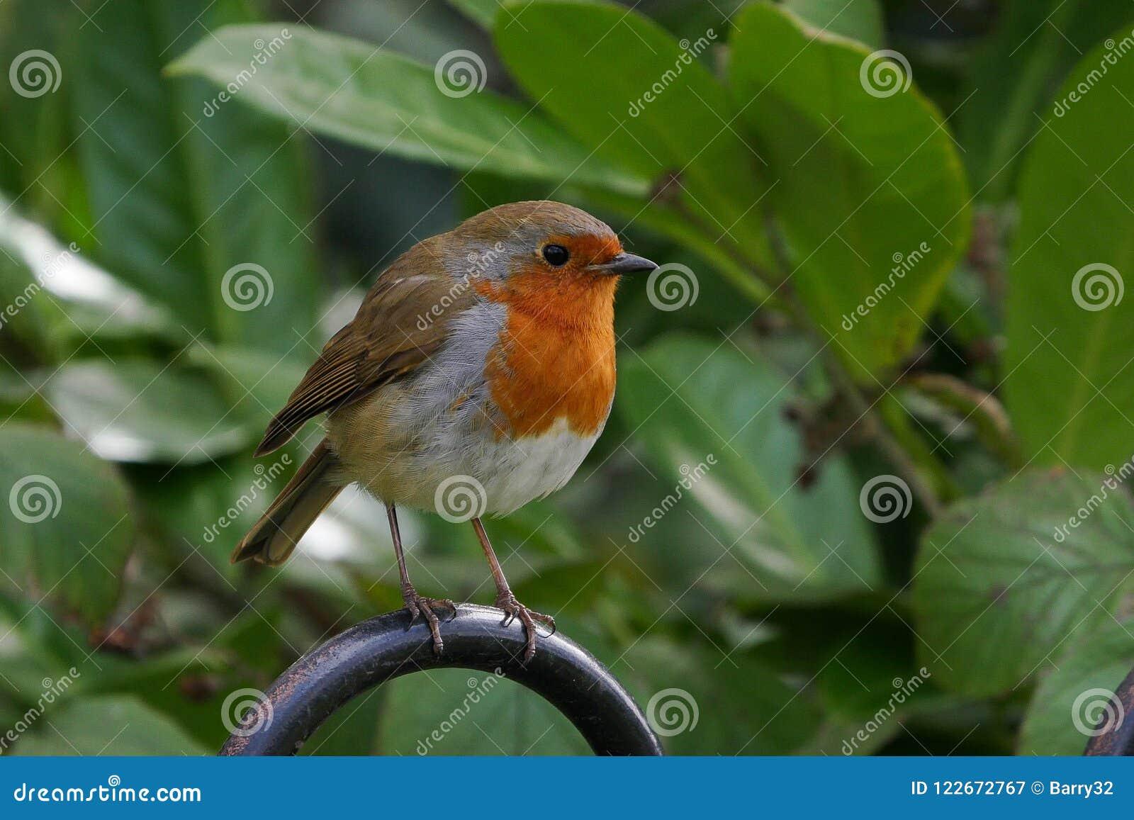 Ślicznego Europejskiego rudzika, Erithacus rubecula ptak/umieszczał na metalu ogrodzeniu w lecie