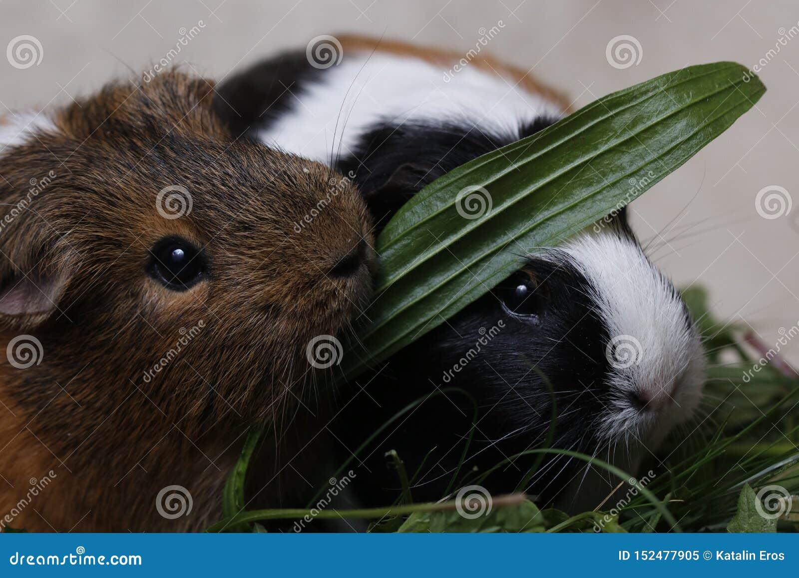 Śliczni króliki doświadczalni z zielonym liściem