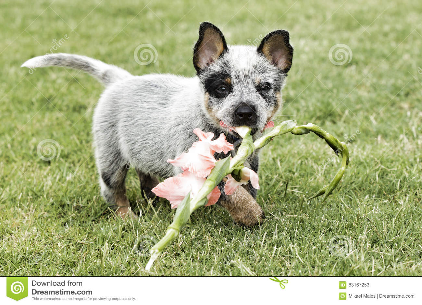 Śliczny błękitny uzdrowiciel z kwiatem w usta