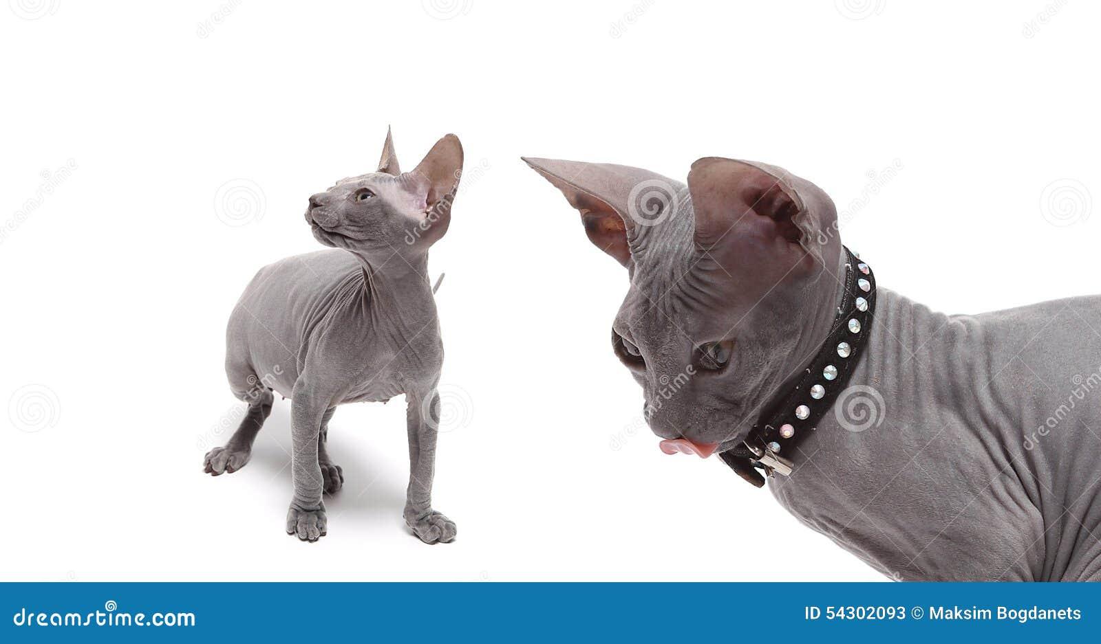 Śliczny bezwłosy sfinksa kot odizolowywający na bielu