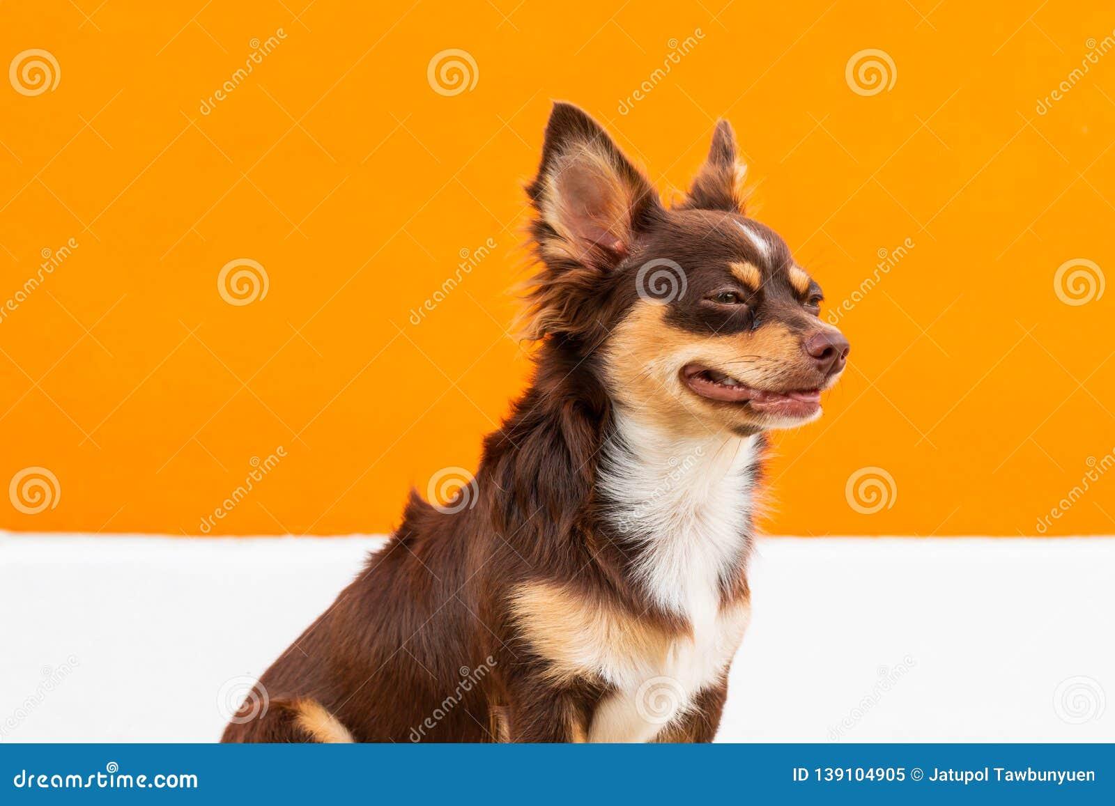 Śliczny brązu chihuahua psa obsiadanie na pomarańczowym i białym tle