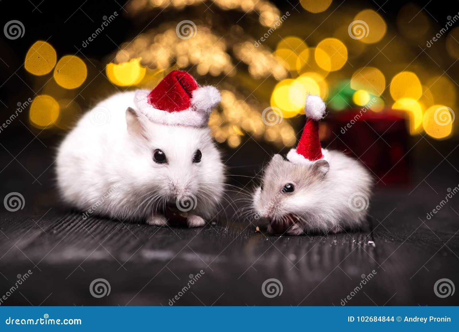 Śliczny chomik z Santa kapeluszem na bsckground z bożonarodzeniowe światła