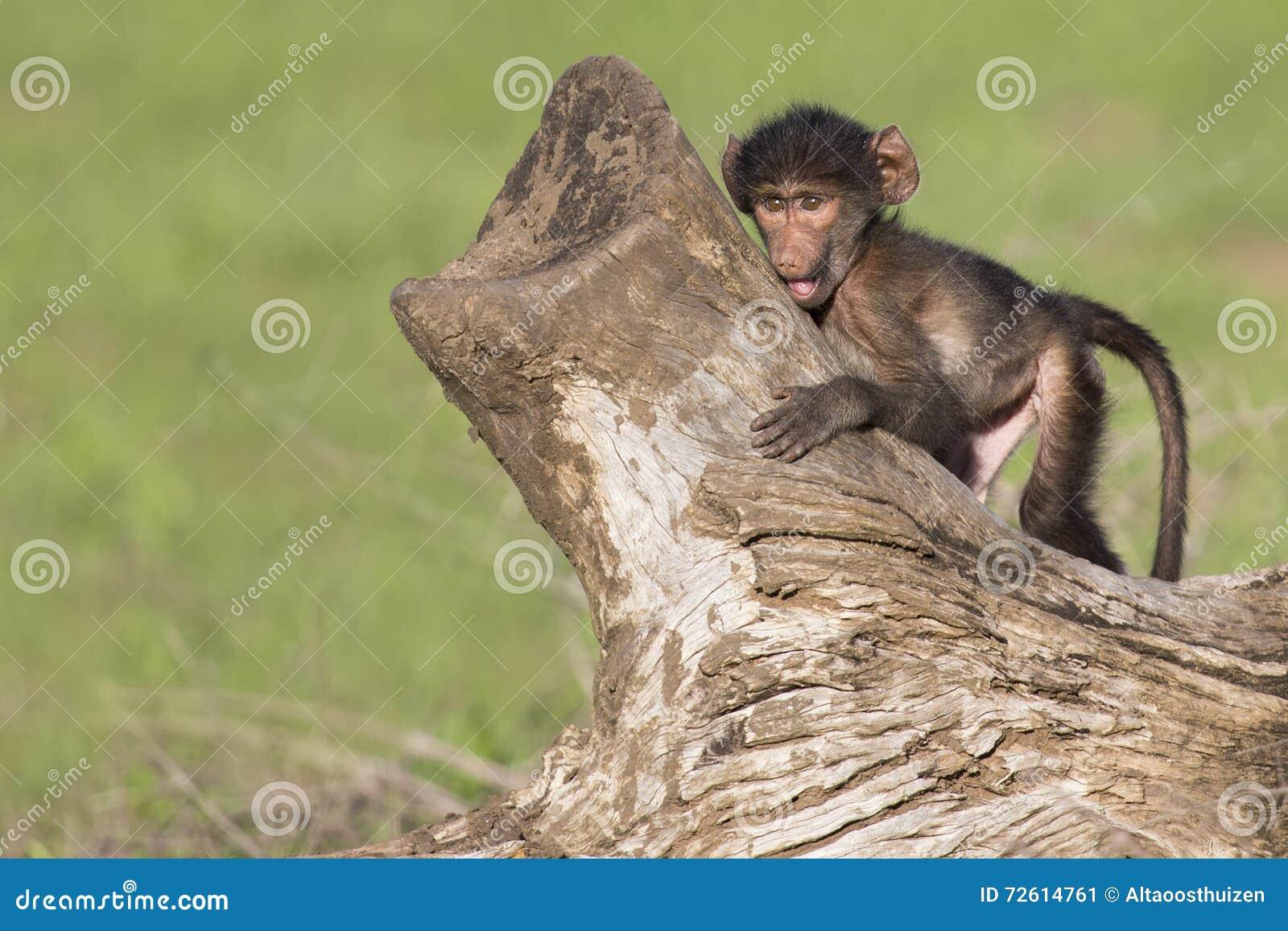 Śliczny dziecko pawian siedzi na drzewnym fiszorku bawić się
