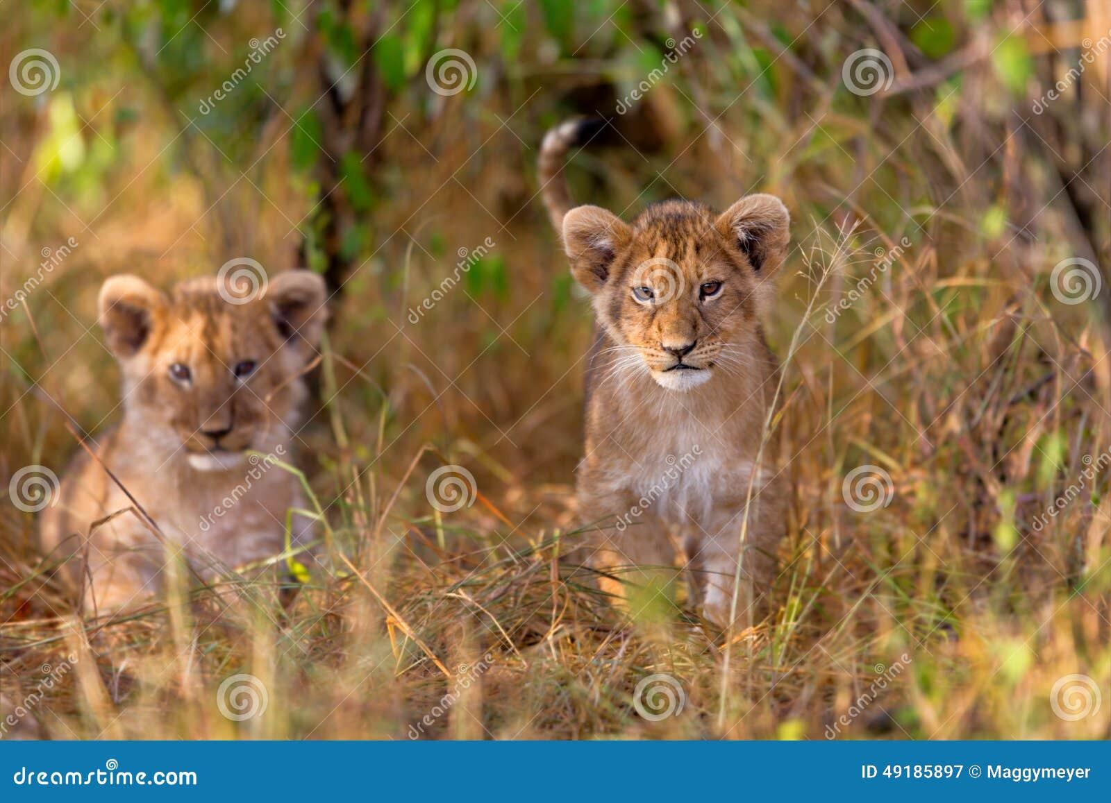 śliczny lisiątko lew