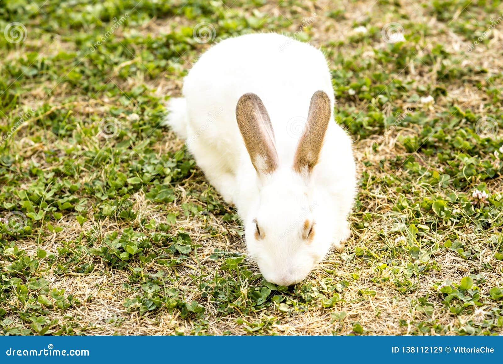 Śliczny mały biały królika Oryctolagus cuniculus obsiadanie na zielonej trawie