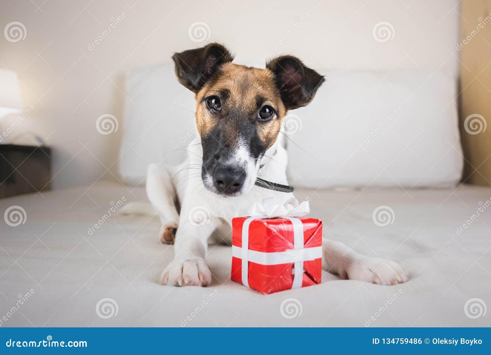 Śliczny mały lisa teriera szczeniak na łóżku z malutkim prezenta pudełkiem
