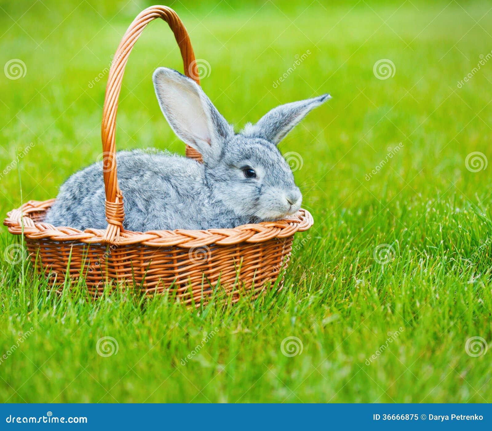 Śliczny mały popielaty królik na zielonej trawie