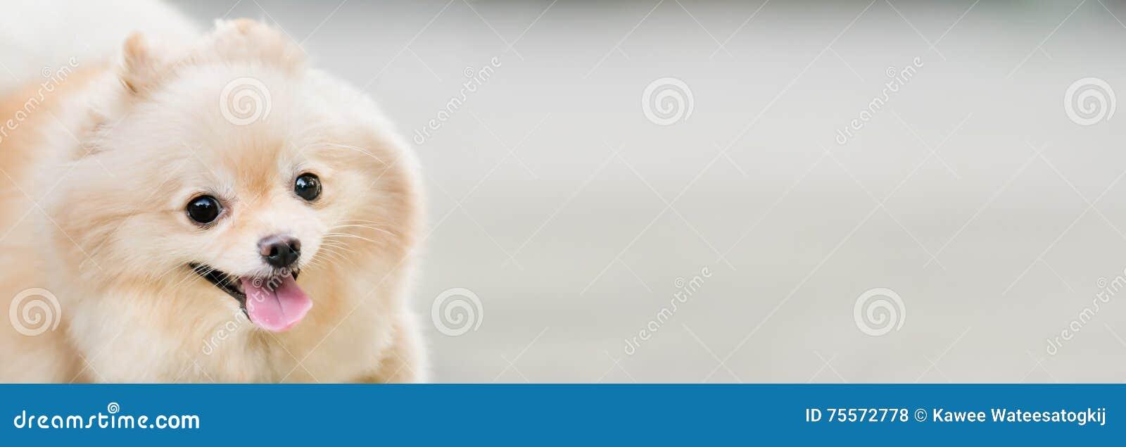 Śliczny pomeranian psi ono uśmiecha się śmieszny, z kopii przestrzenią, horyzontalny prostokątny wizerunek, ostrość na oku