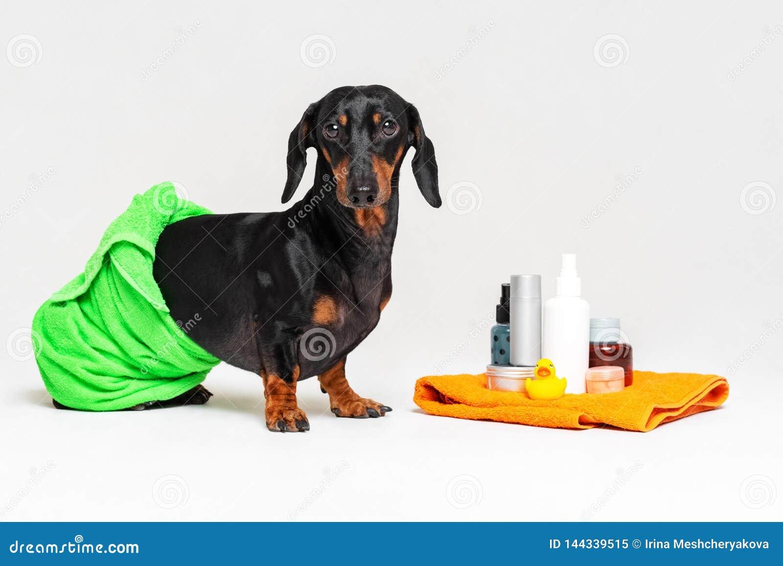 Śliczny psi jamnik zawijający w zielonym ręczniku, czarny i dębny, po tym jak brać prysznić z gumową żółtą kaczką, puszki szampon