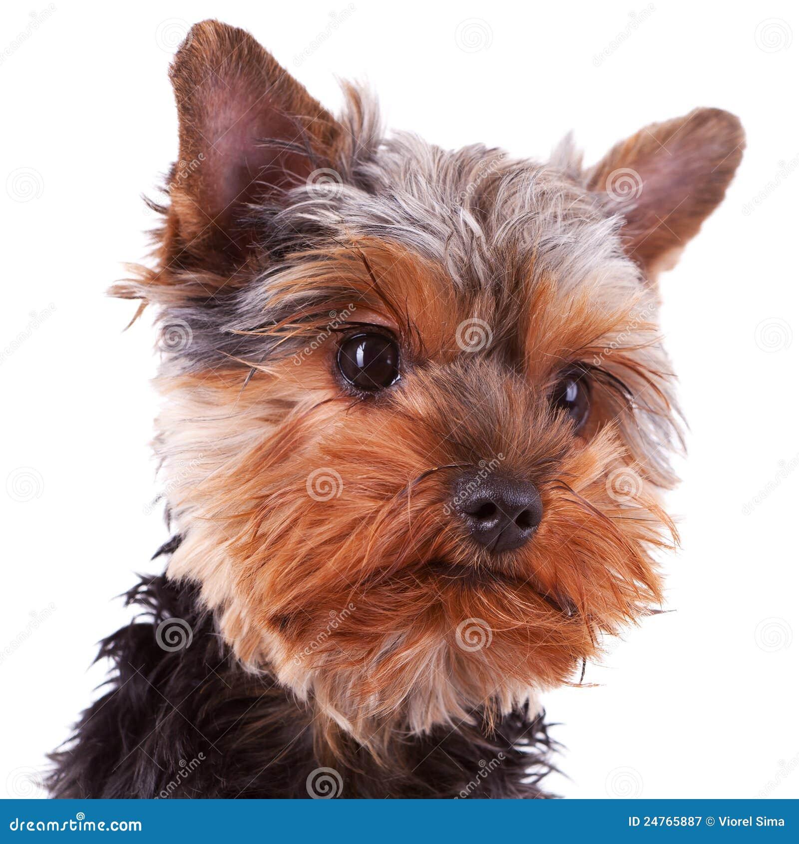 śliczny psiej głowy szczeniak Yorkshire