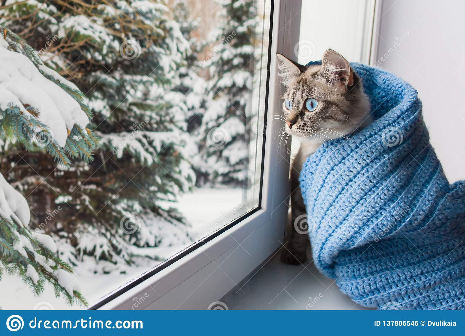 Śliczny puszysty kot z niebieskiego oka sititng na nadokiennym parapecie