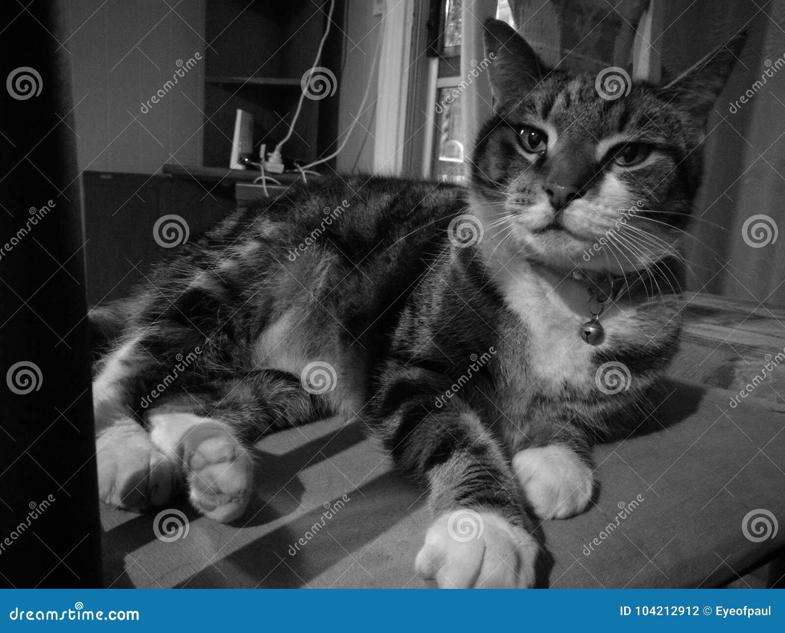 Śliczny spokojny tajemniczy kot w czarny i biały