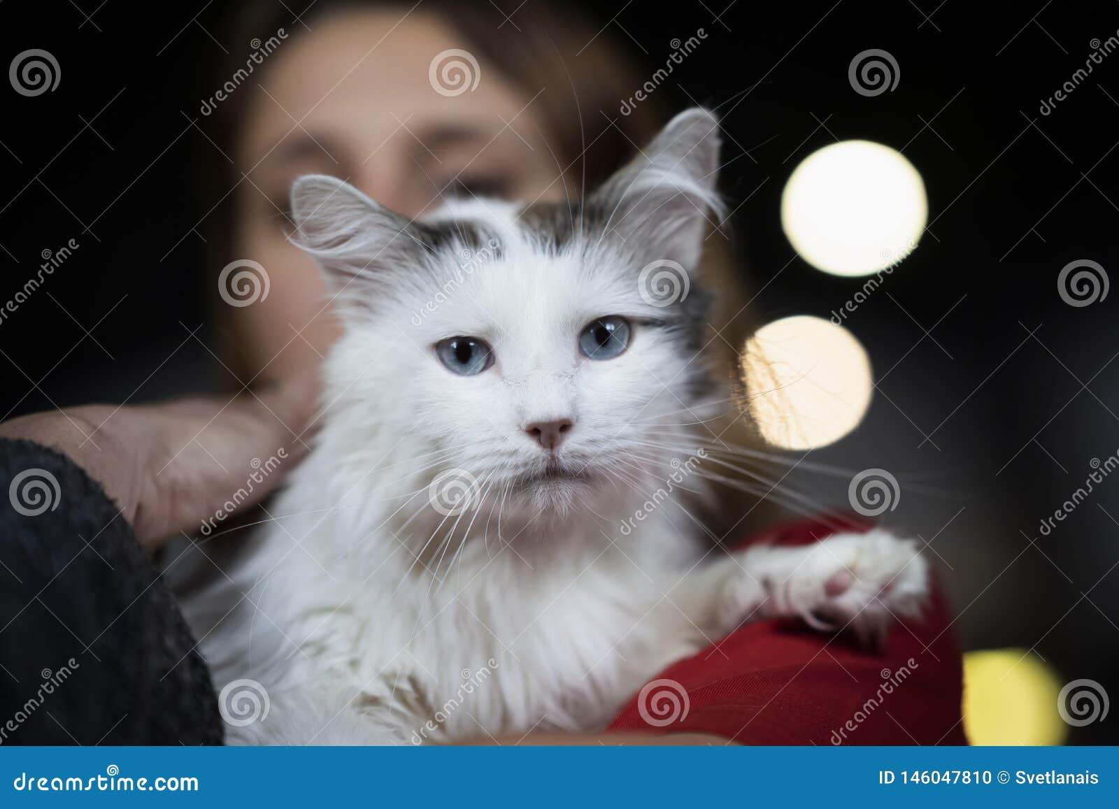 Śliczny straszący kot z pięknymi i inteligentnymi niebieskimi oczami w miłych rękach dziewczyna wolontariusz czekać na ich przysz