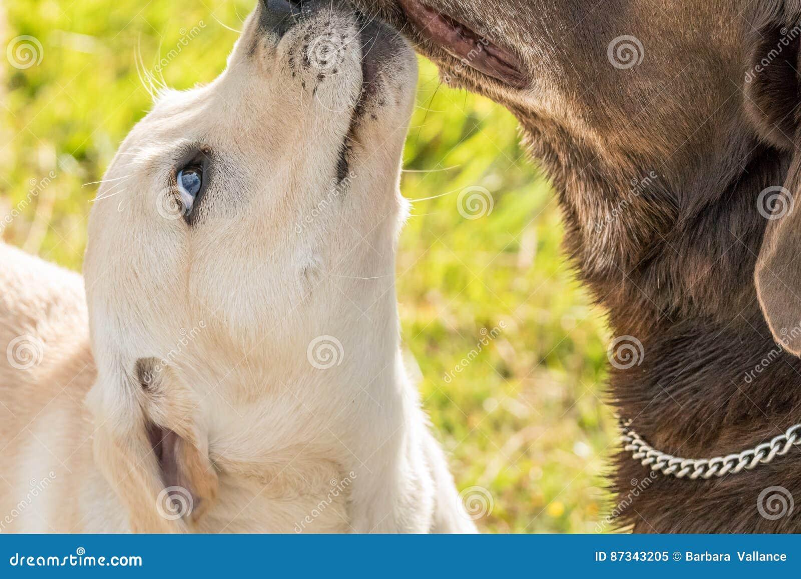 Śliczny szczeniaków buziaków dorosłego pies Czule