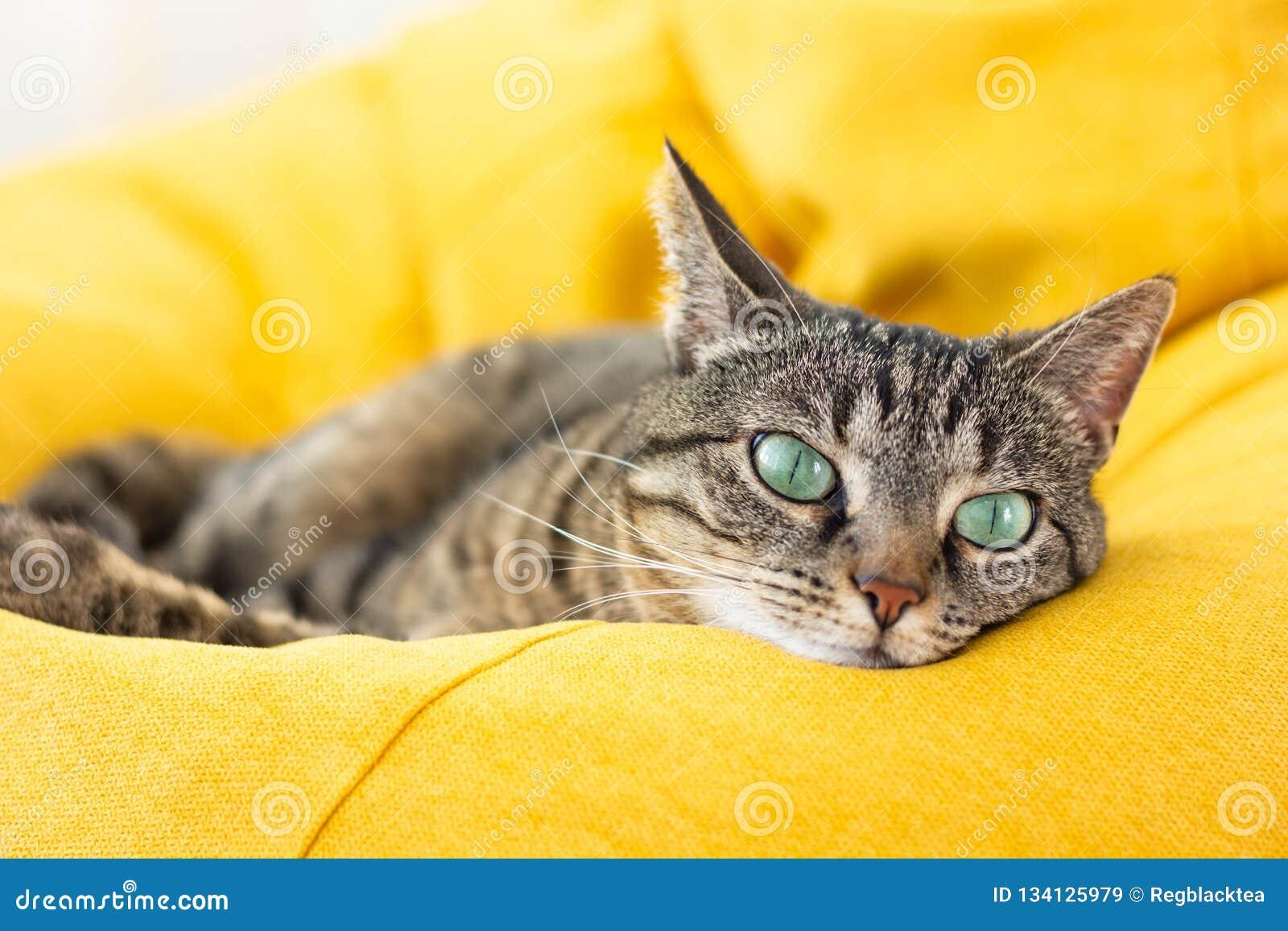 Śliczny tabby kot z zielonymi oczami kłama na żółtej bobowej torbie