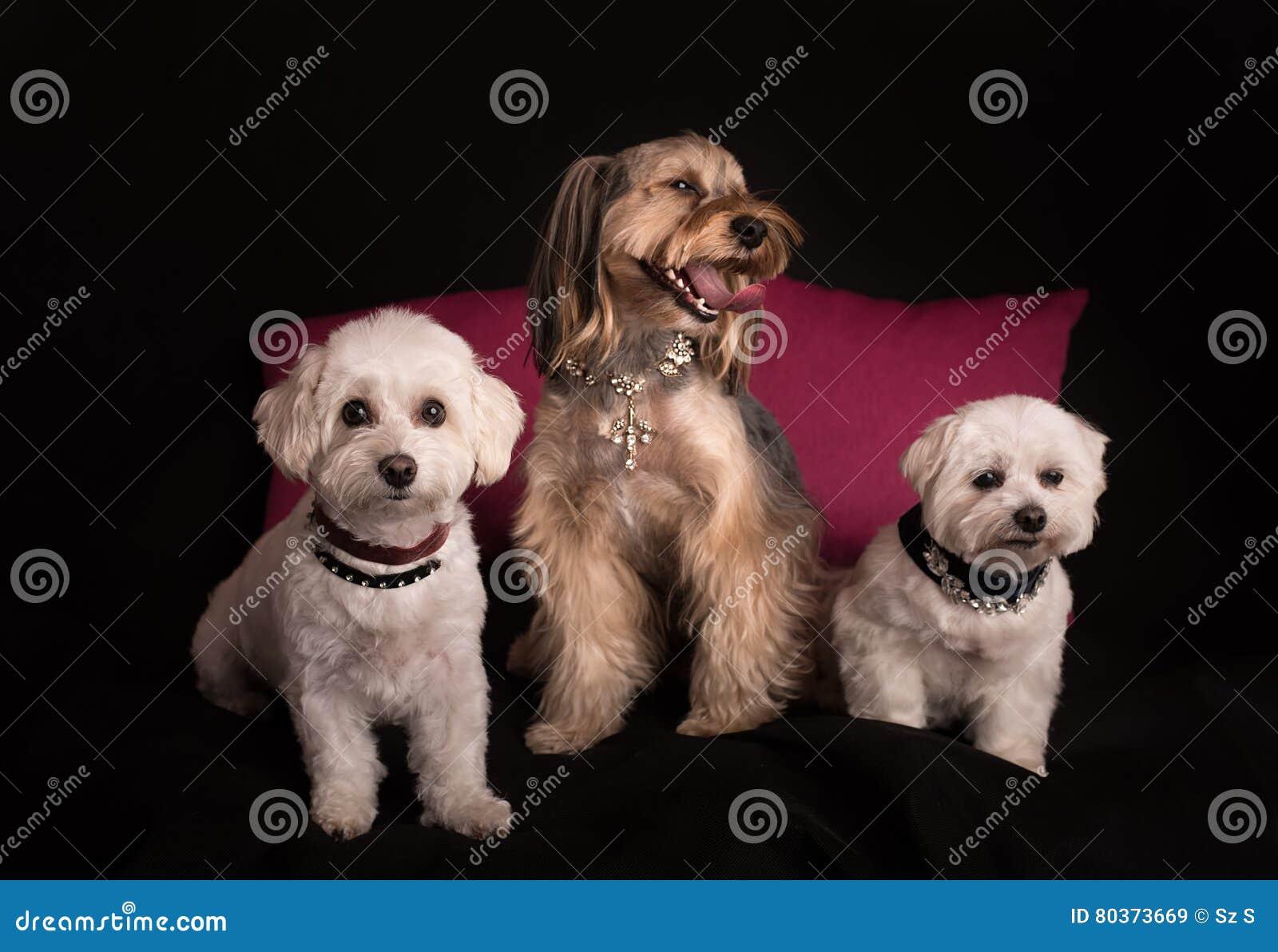 Śliczny Zachodniego średniogórza Białego Terrier obsiadanie na czerni