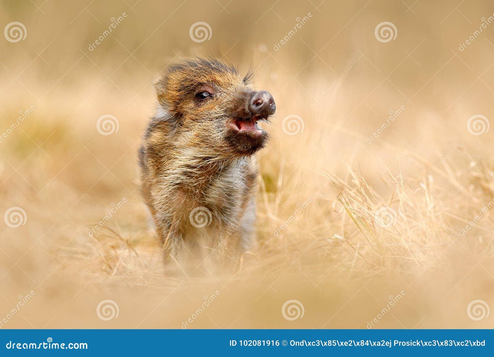 Śliczny zwierzę w lasowym portrecie dzika świnia, trawy łąka Młody Dziki knur, Sus scrofa, biega w trawy łące, czerwona jesień fo