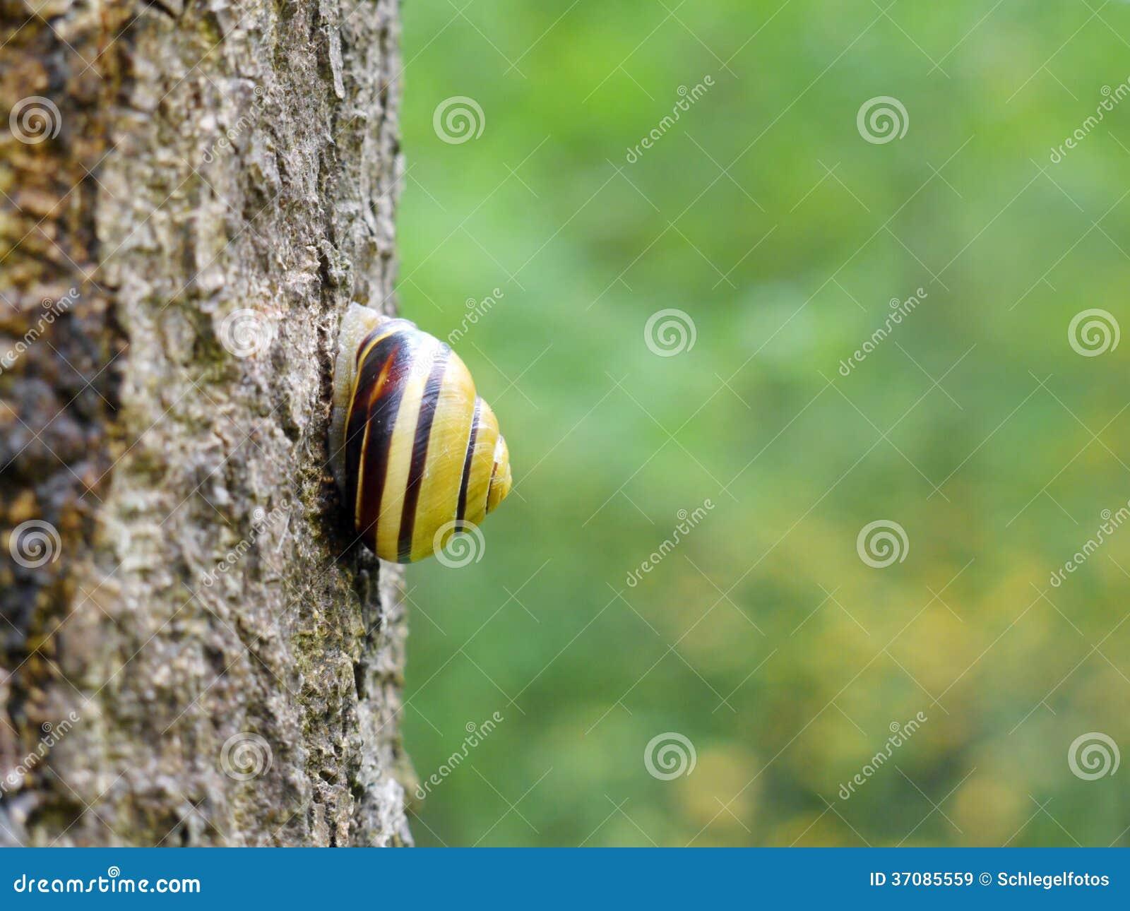 Download Ślimaczek Na Bagażniku W Naturze Obraz Stock - Obraz złożonej z natura, fauny: 37085559