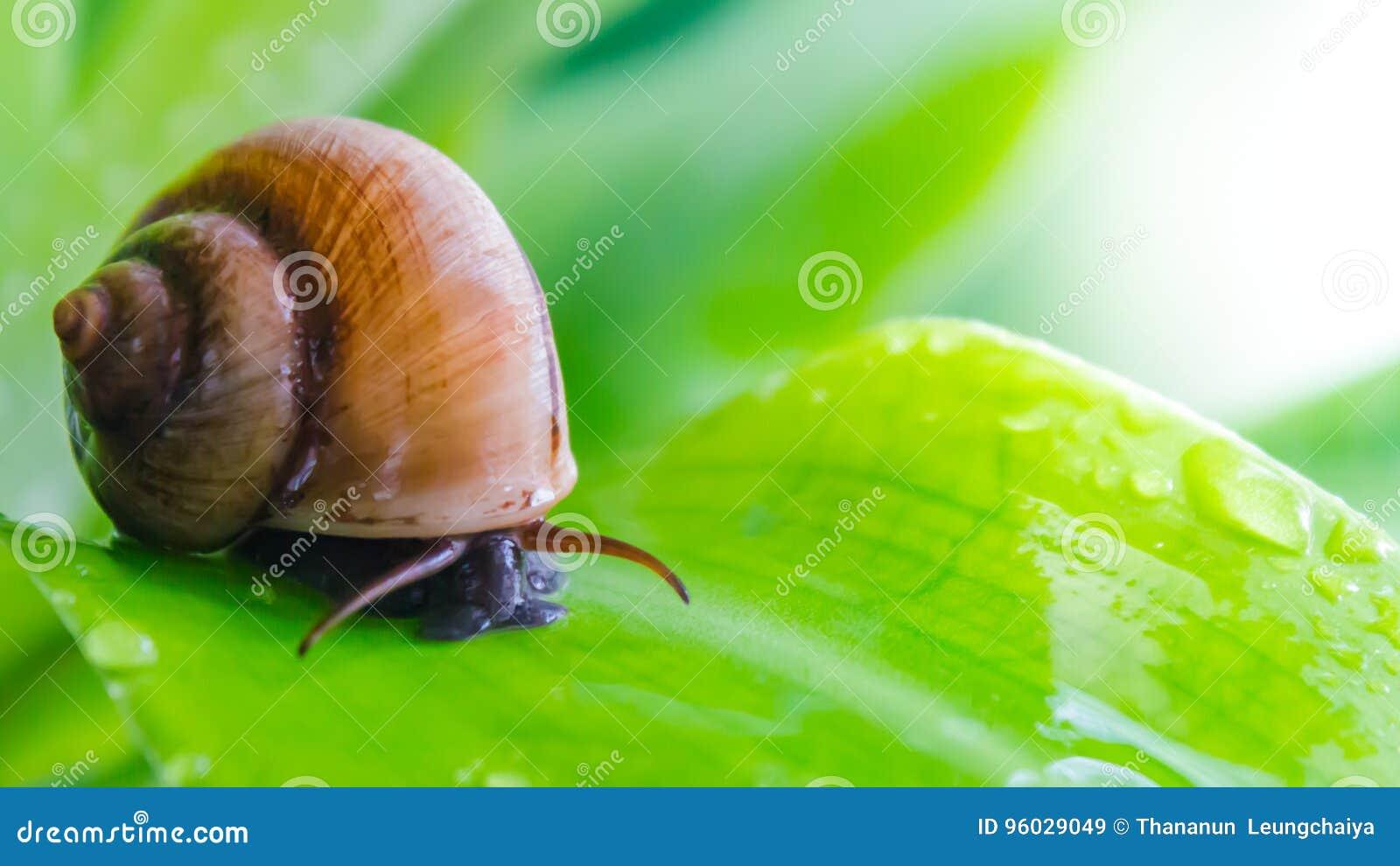 Ślimaczka czołganie na liściu
