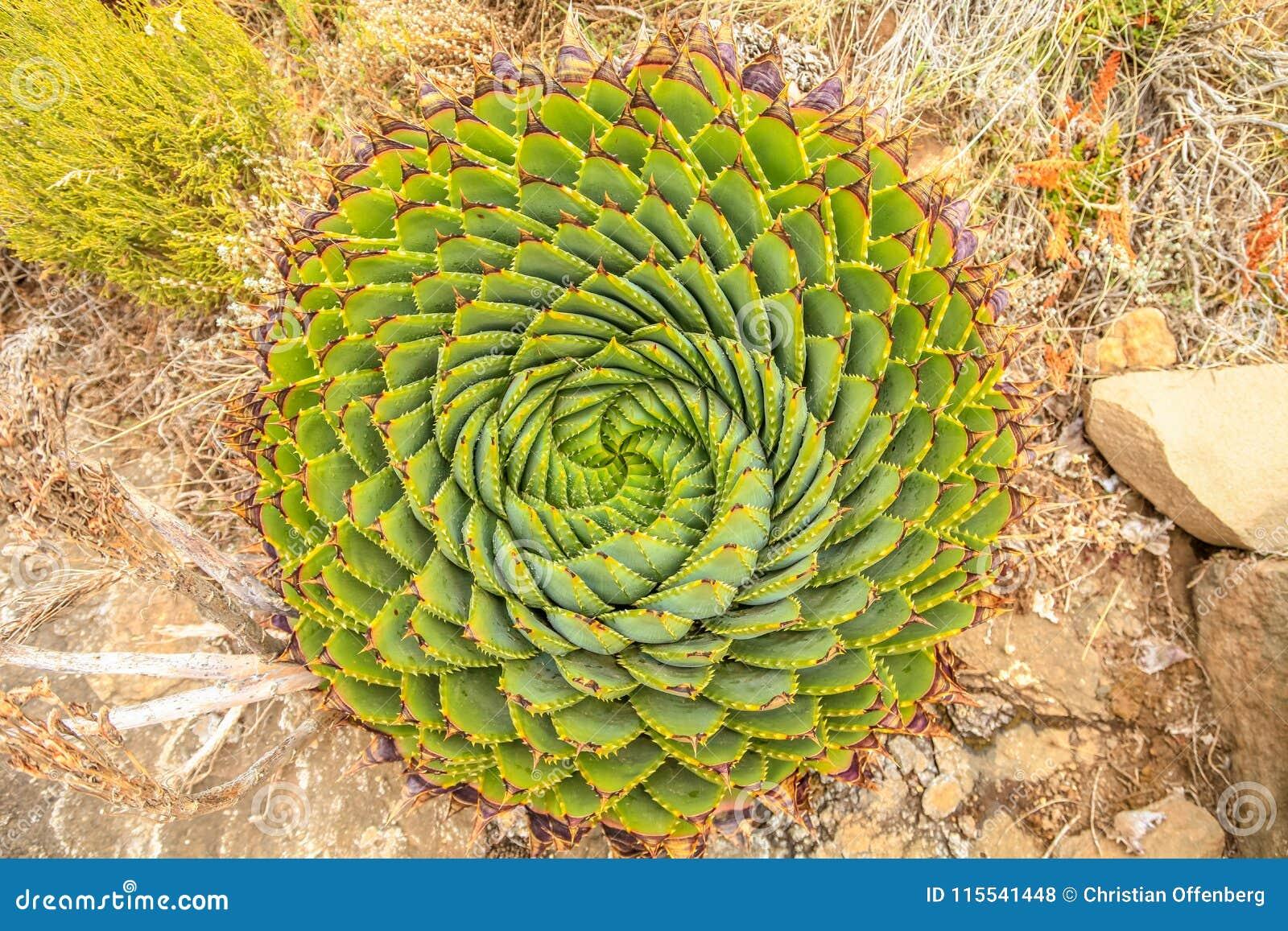Ślimakowaty aloes - Lesotho tradycyjna roślina