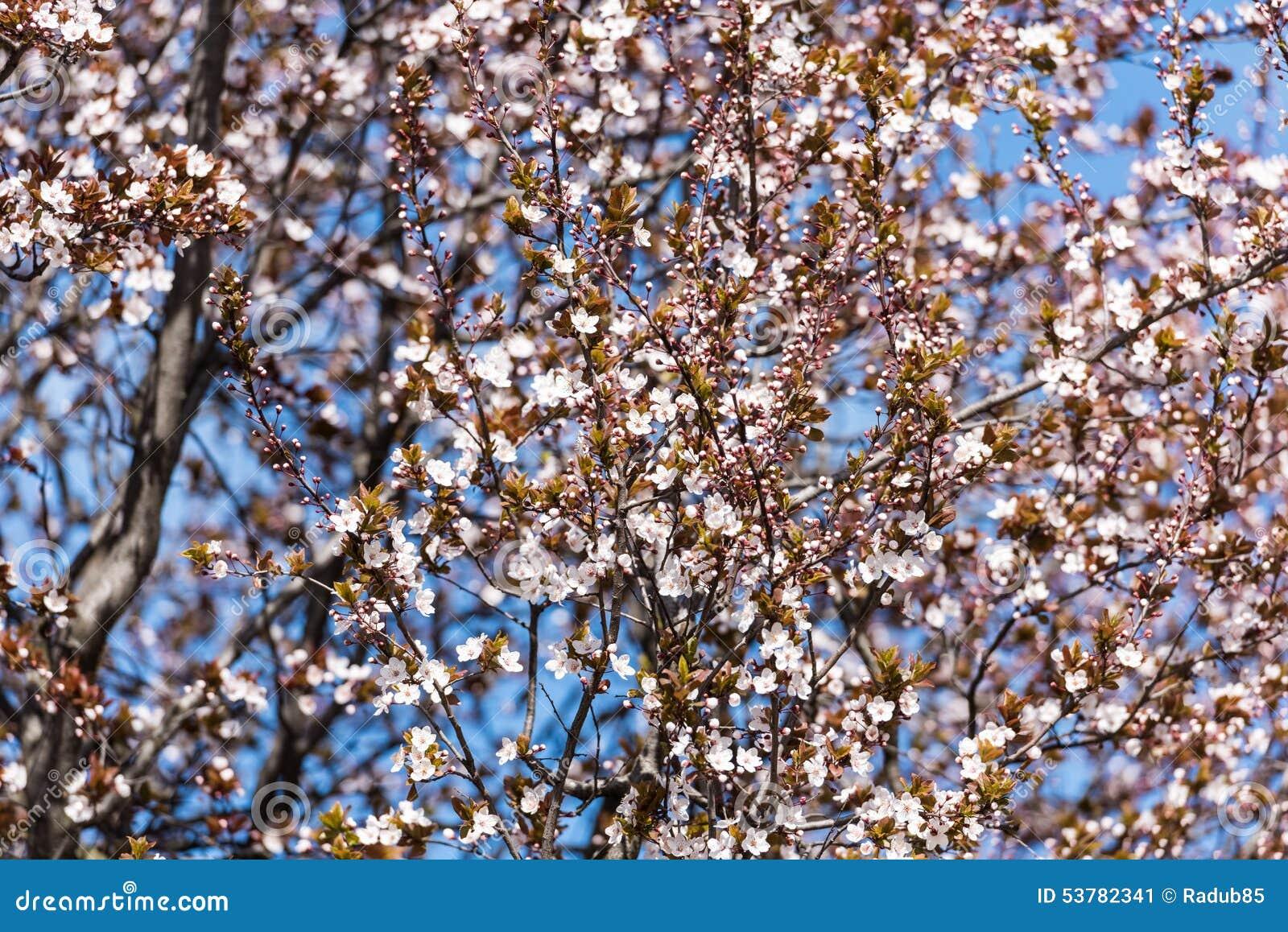 Śliwkowy drzewo Kwitnie W wiośnie