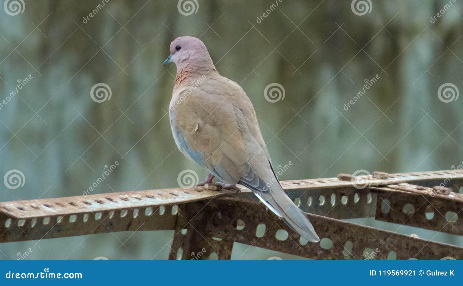 Śmiać się gołąbka ptaka w India