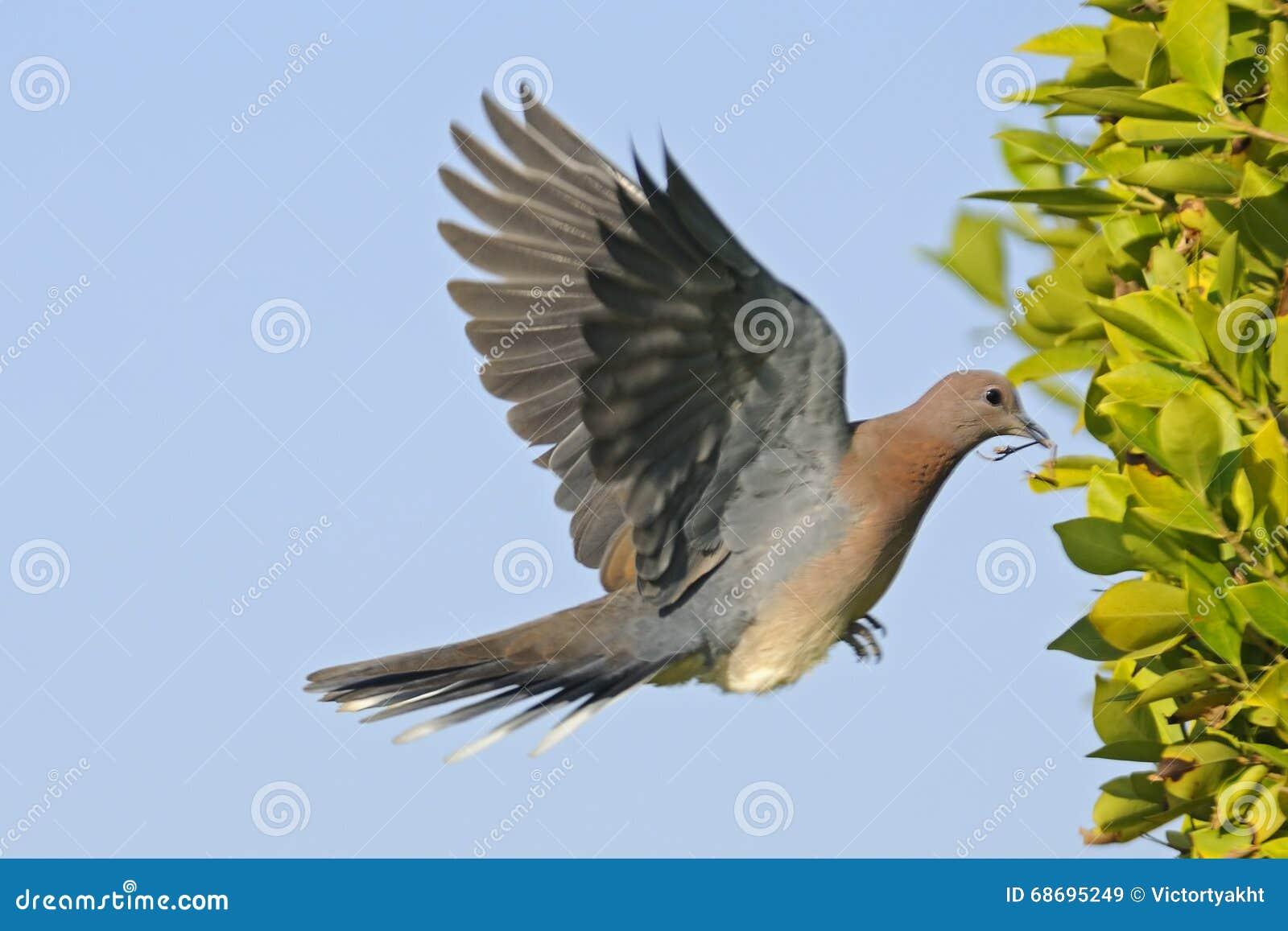 Śmiać się gołąbki latanie z materiałem budowlanym gniazdeczko
