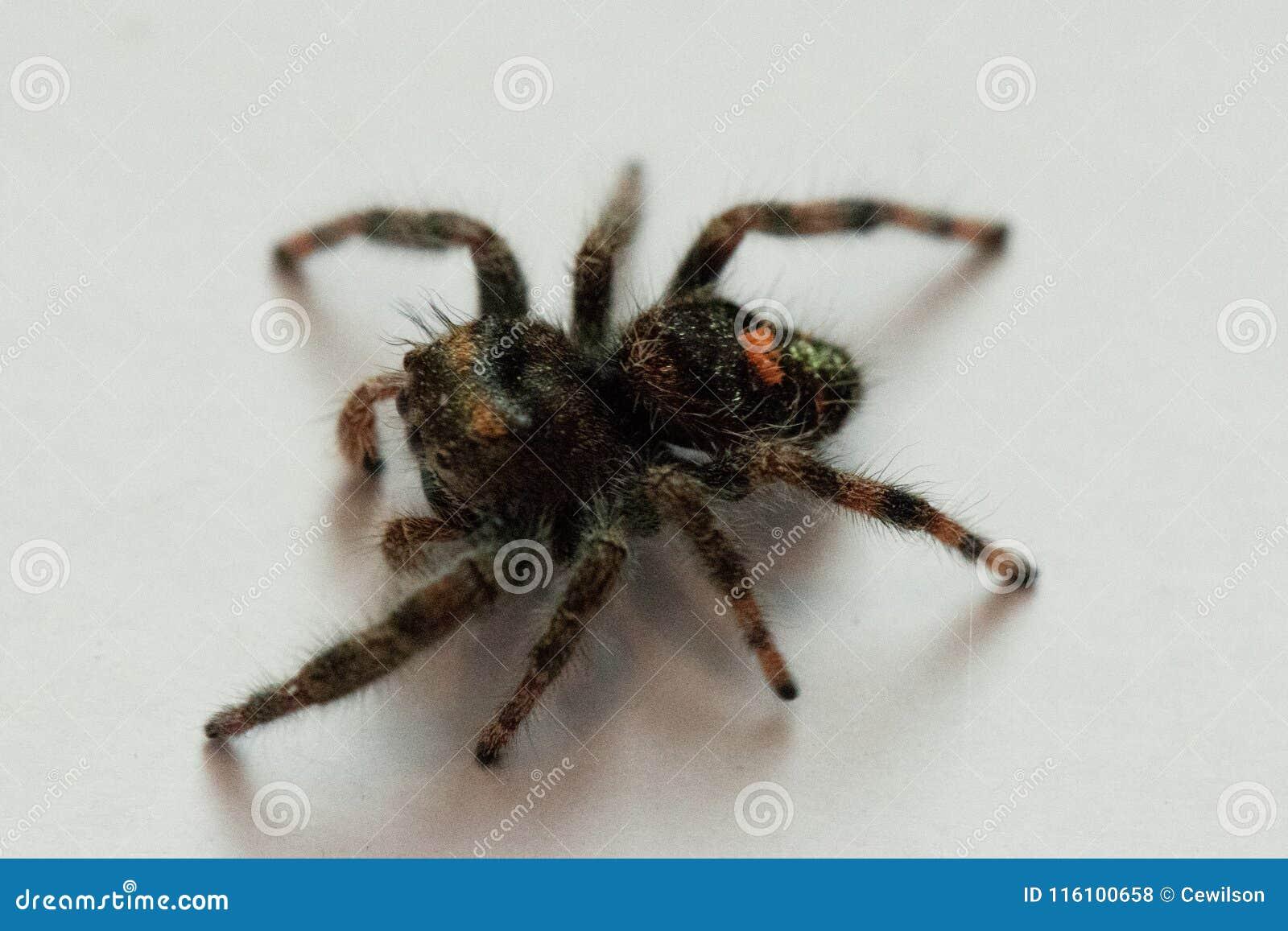 Śmiały bluza pająka widok