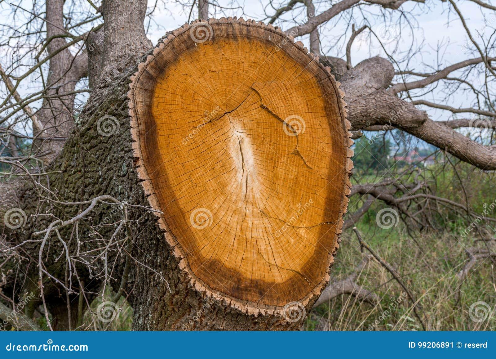 Śmierć drzewo