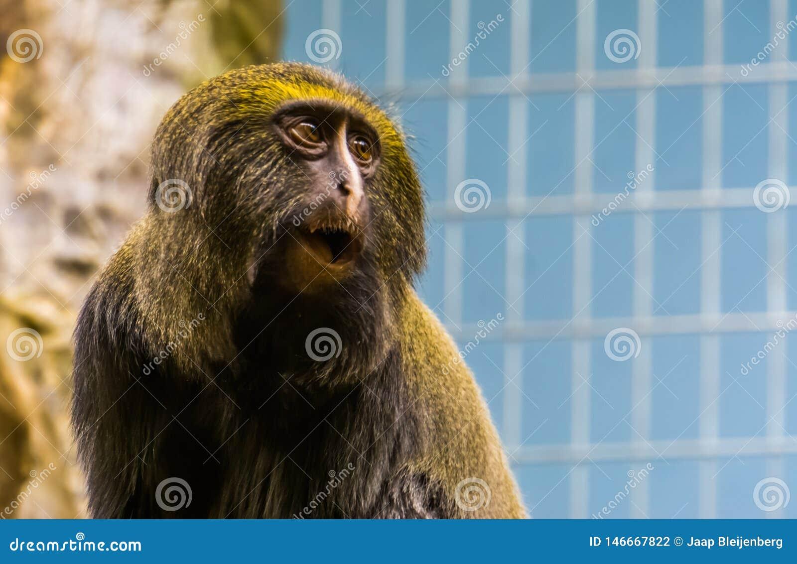 Śmieszna sowa stawiał czoło małpy robi zadziwiającej twarzy głowa hamlyns małpa w zbliżeniu, podatny zwierzęcy specie
