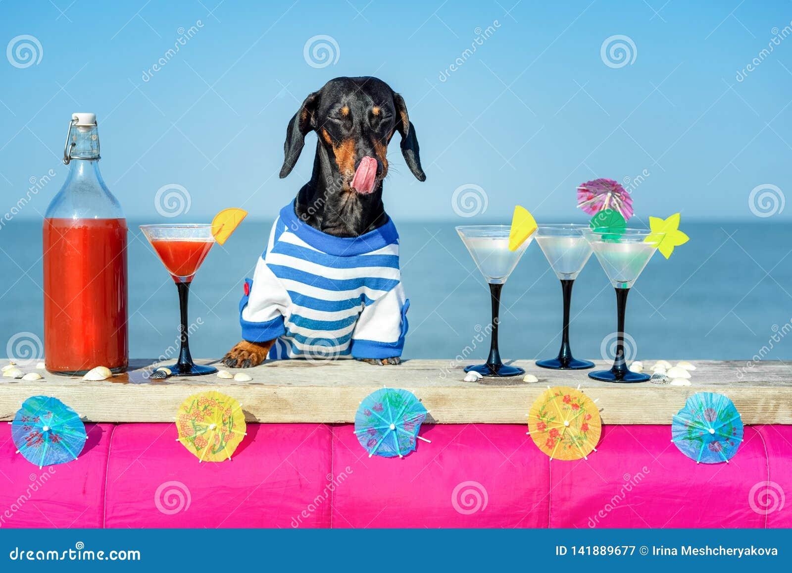 Śmiesznego chłodno jamnika psi pije koktajle, liżący, przy barem w wyrzucać na brzeg świetlicowego przyjęcia z widokiem na ocean