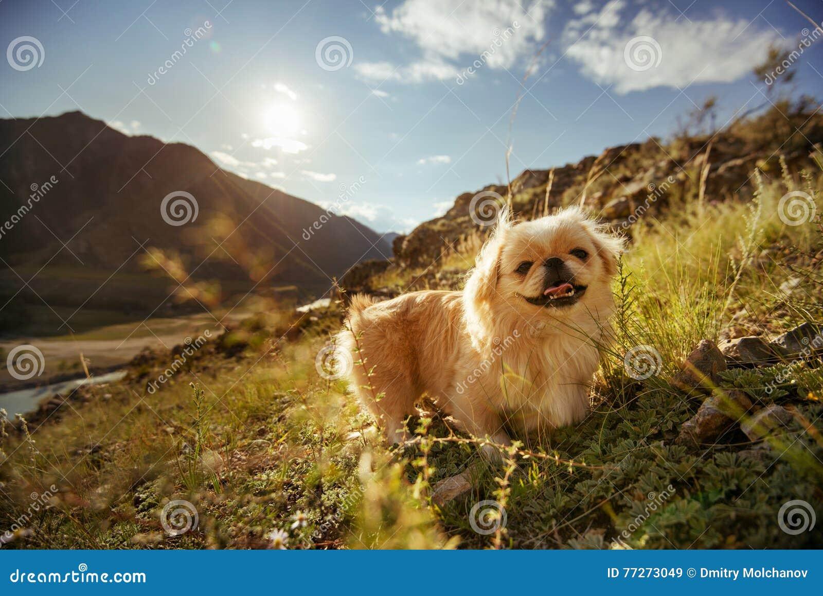 Śmiesznego zwierzę psa pekingese góry