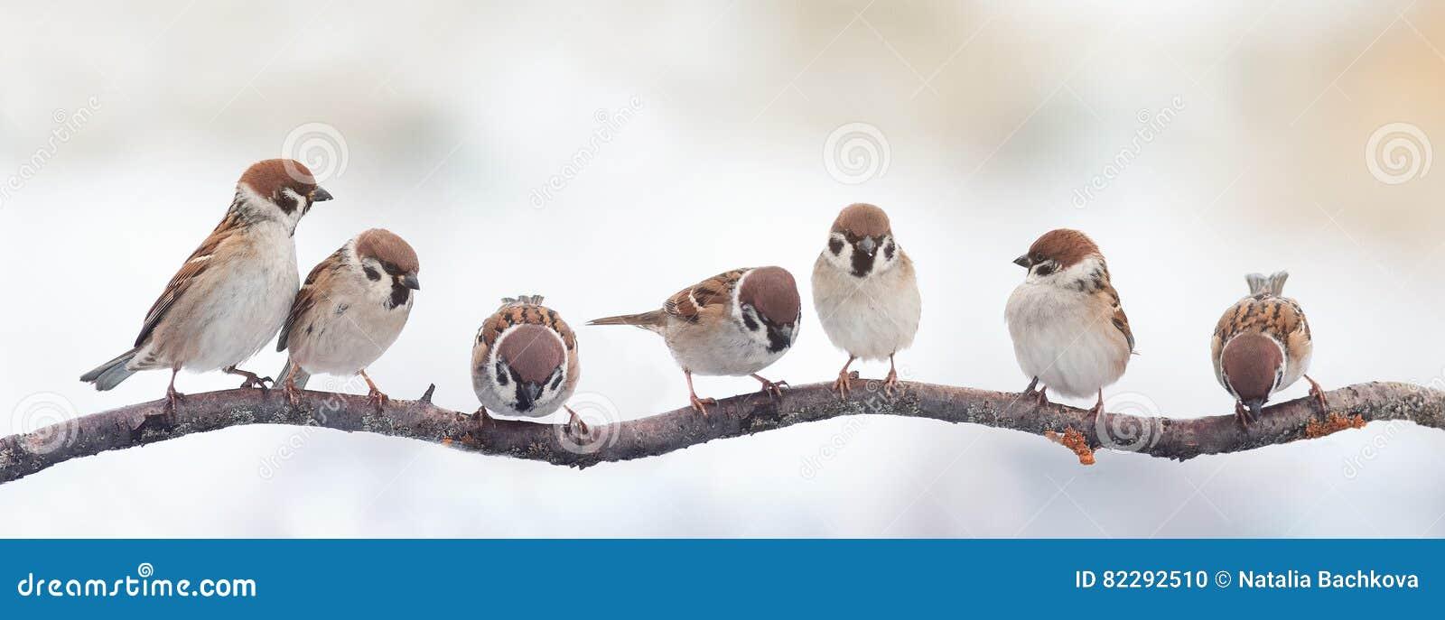 Śmieszni ptaków wróble siedzi na gałąź na panoramicznym obrazku