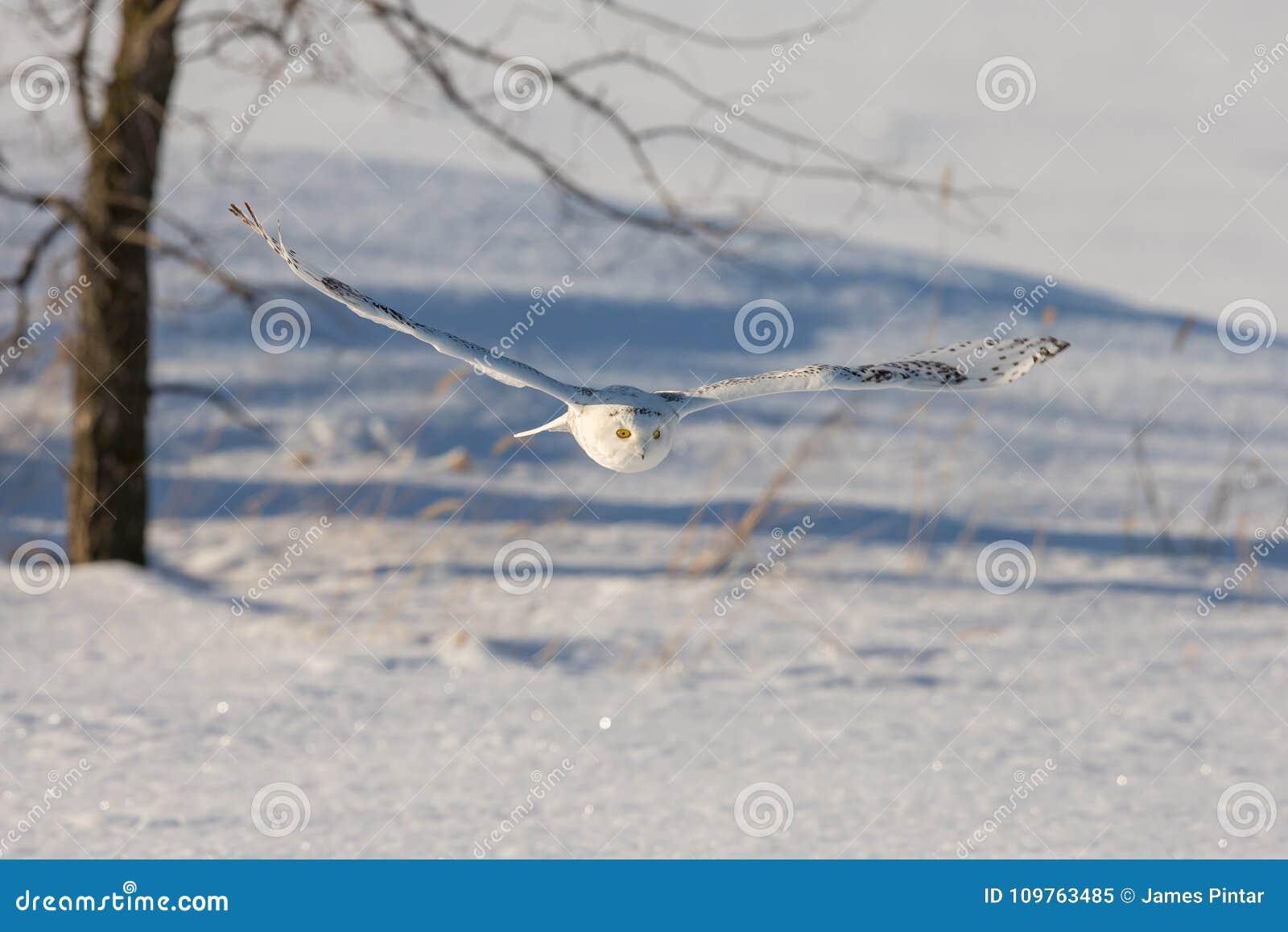 Śnieżnej sowy Latająca depresja Nad Śnieżnym polem