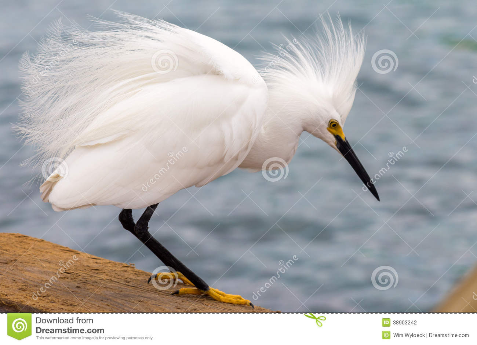 Śnieżny egret