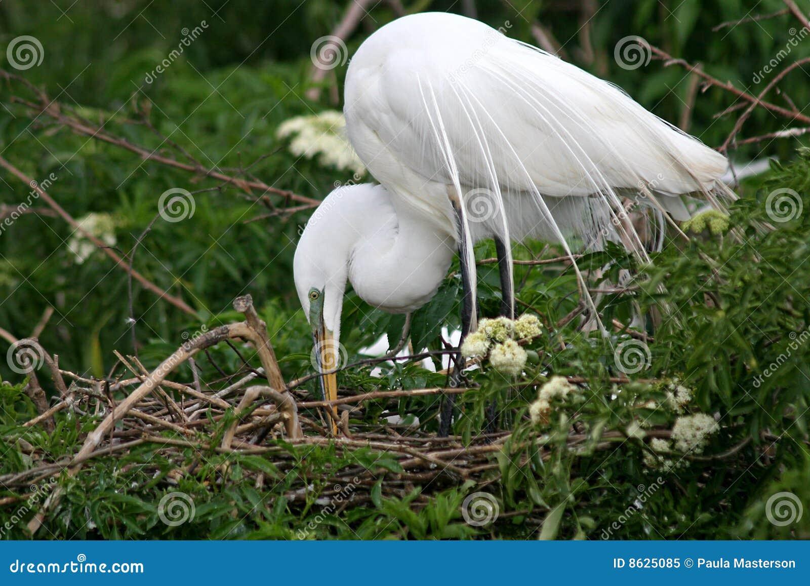 śnieżny egret biel