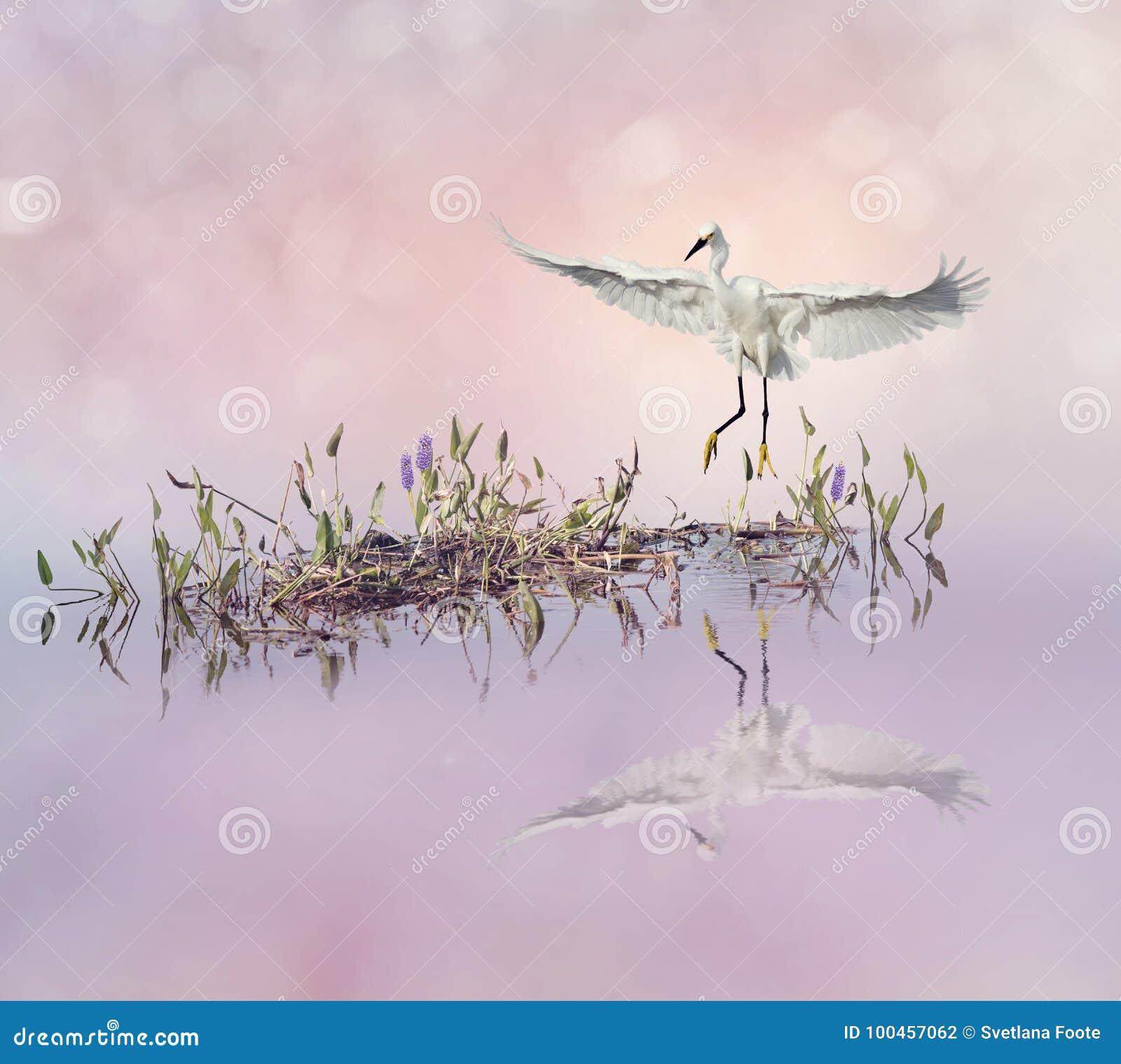 Download Śnieżny Egret W Locie Nad Jeziorem Zdjęcie Stock - Obraz złożonej z wally, trawy: 100457062