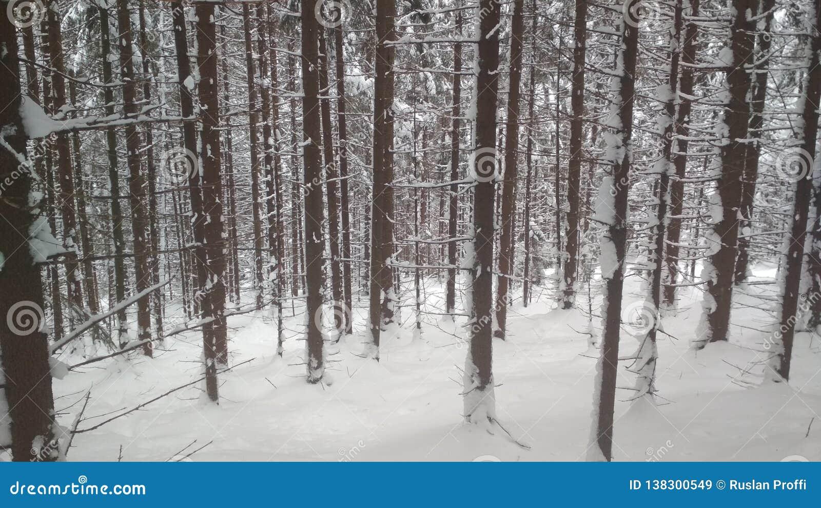 Śnieg zakrywający las, nieprawdopodobni Carpathians