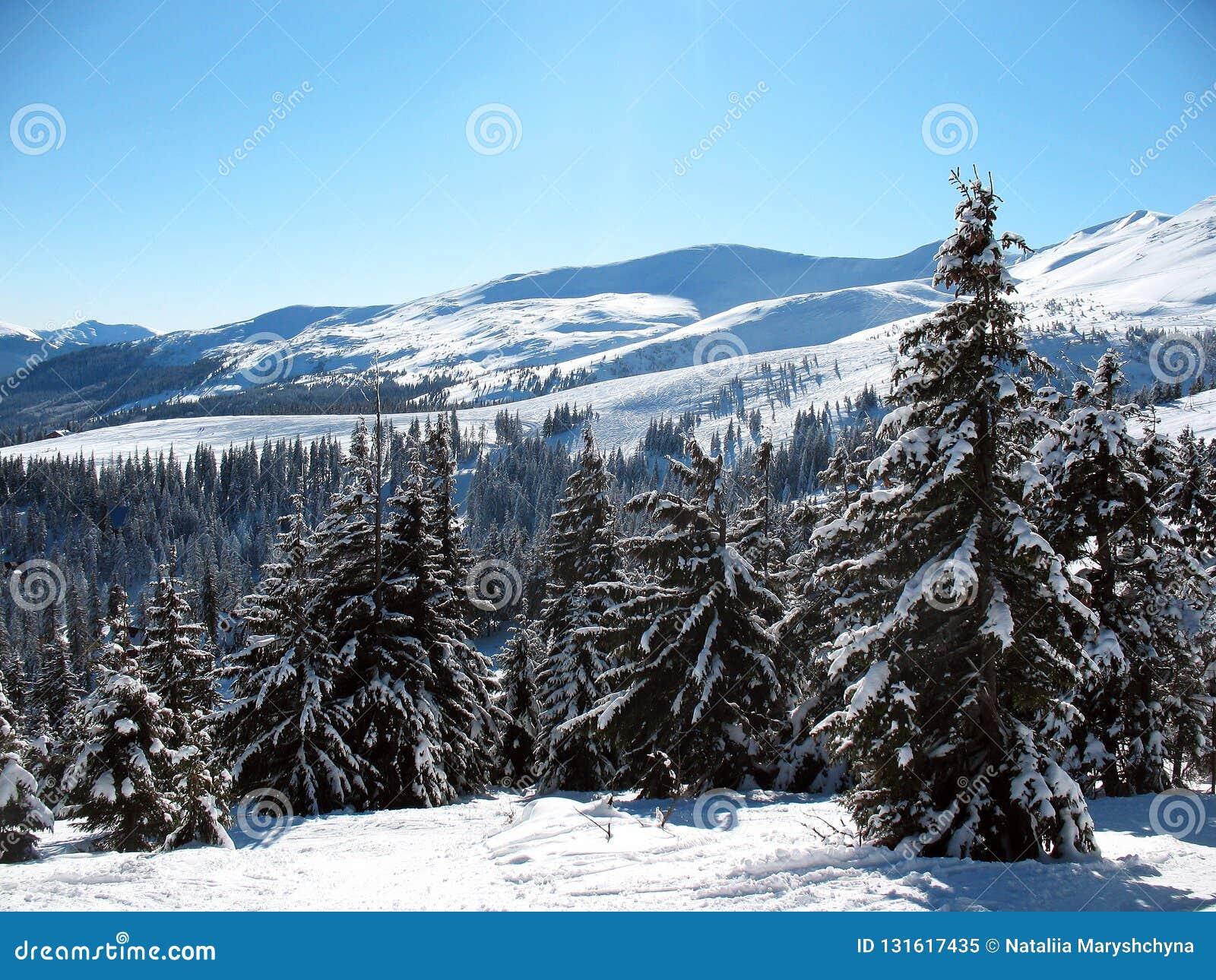 Śniegi zakrywający góra szczyty z wzgórzami zakrywali jedliny zimy lasowego krajobraz Carpathians w Ukraina