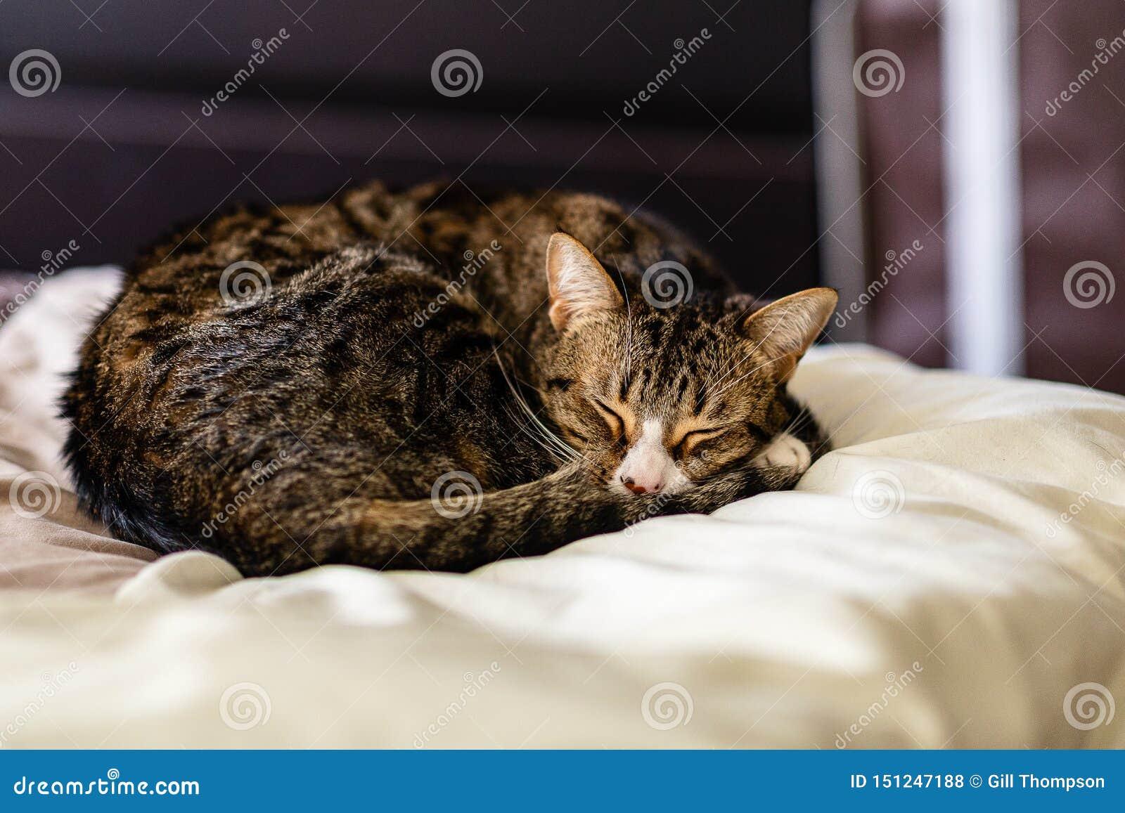 Śpiąca Tabby figlarka na gęstym comforter