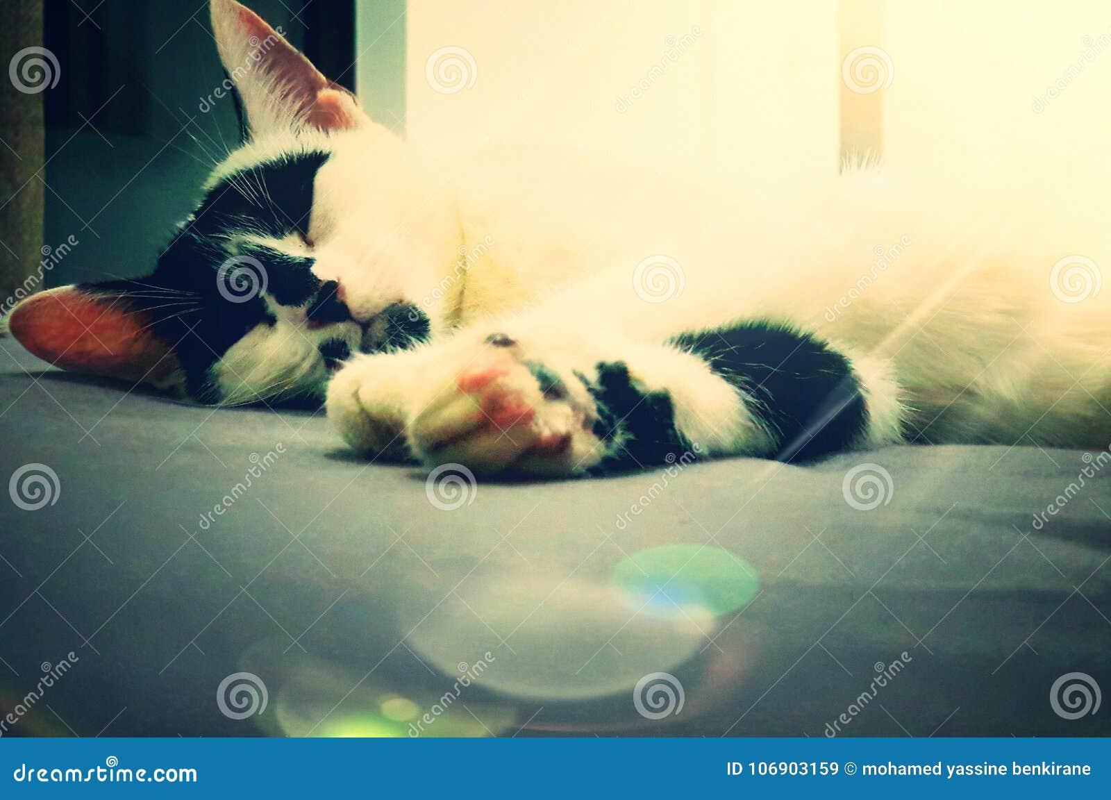 Śpiącego kota z kości słoniowej wybrzeże