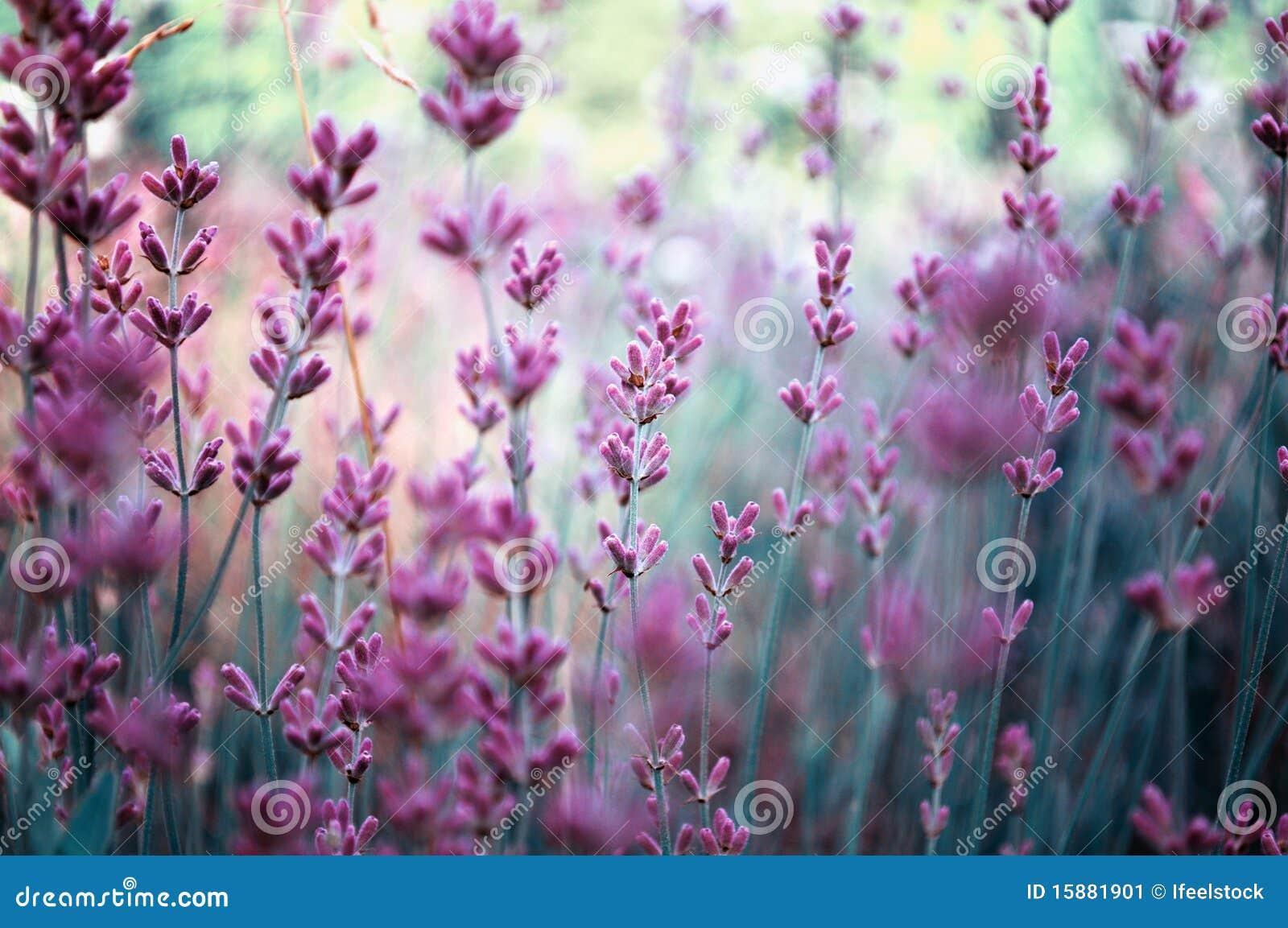 śródpolna lawendowa roślina