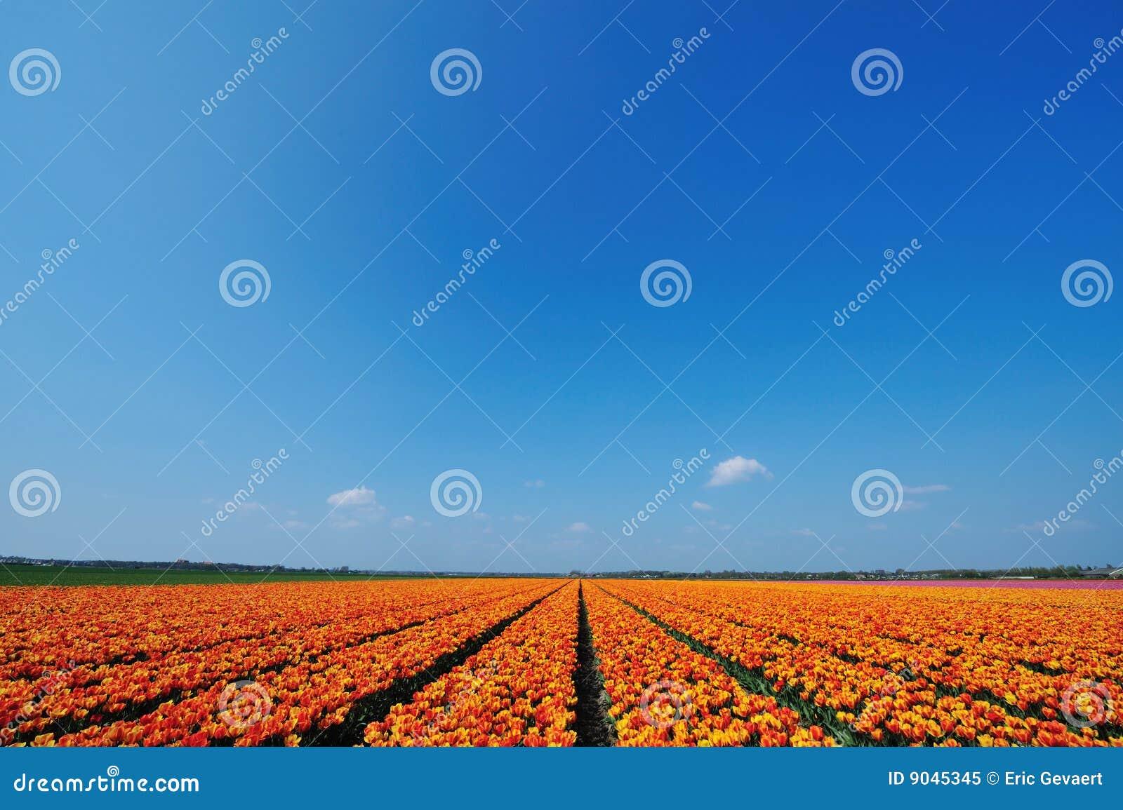 śródpolni tulipany