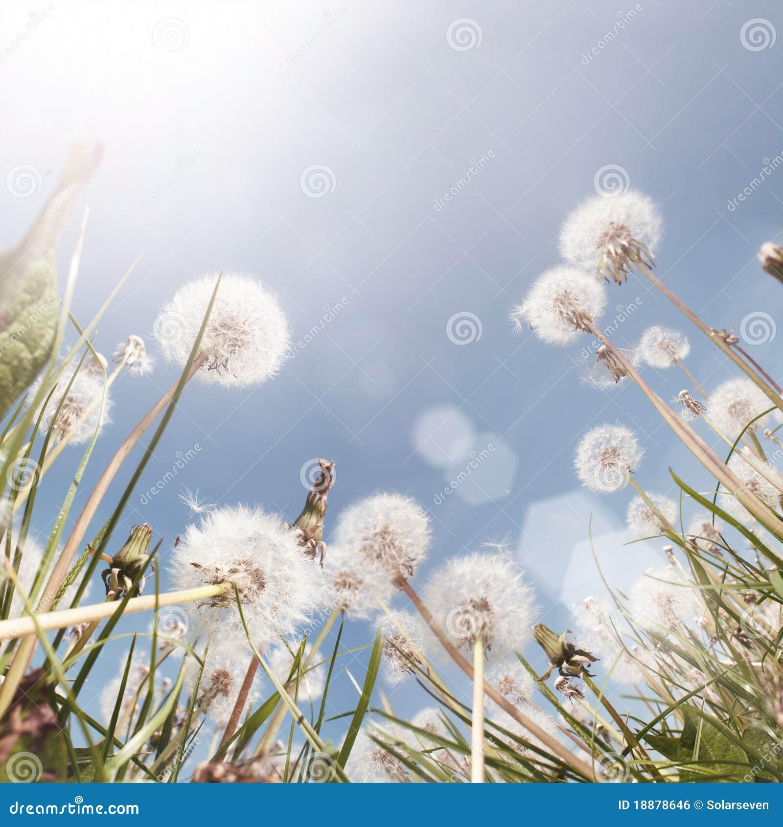 śródpolny dandelion lato
