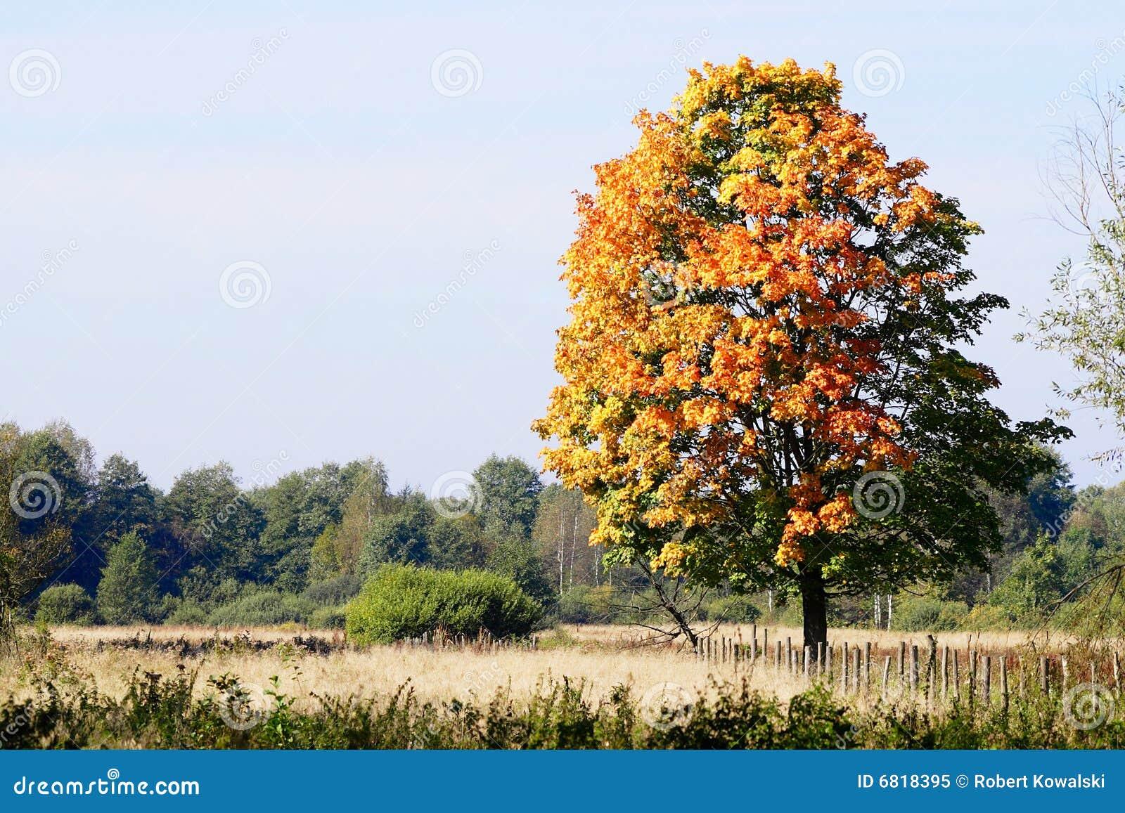 śródpolny jesień drzewo