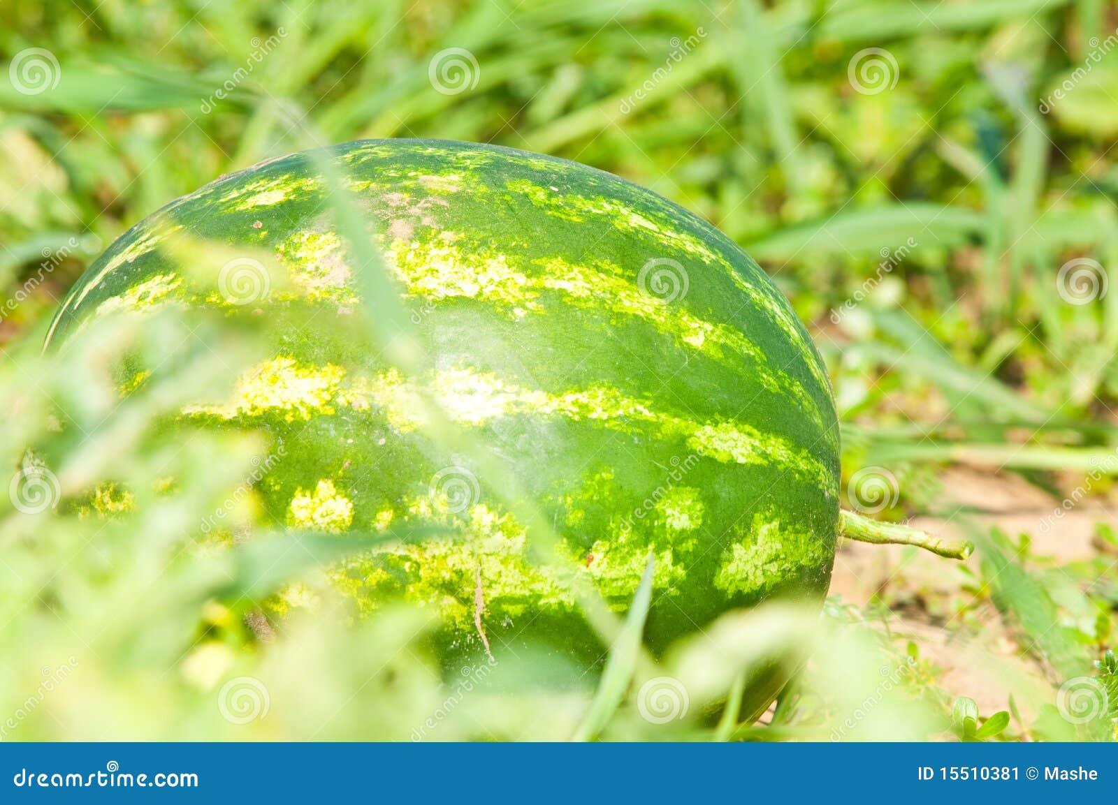 śródpolny narastający arbuz
